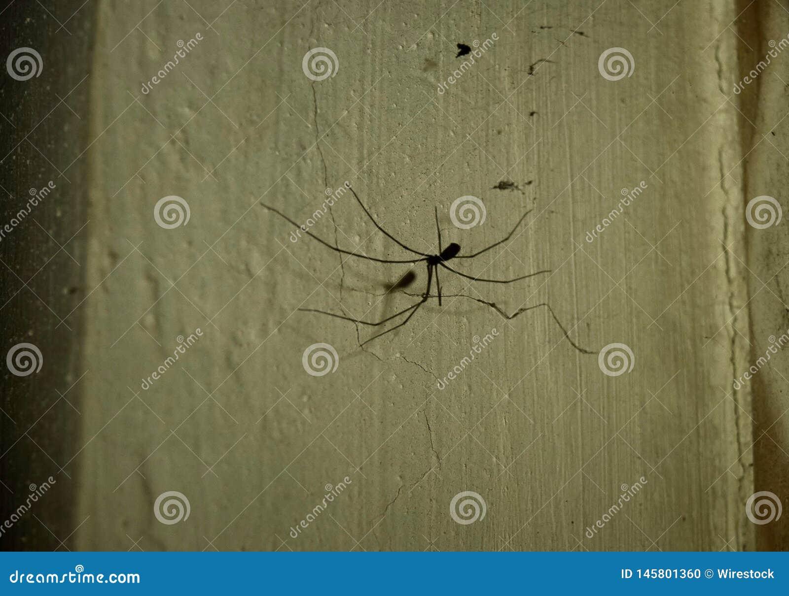 蜘蛛阴影:爸爸Longlegs蜘蛛,Holocnemus plochei