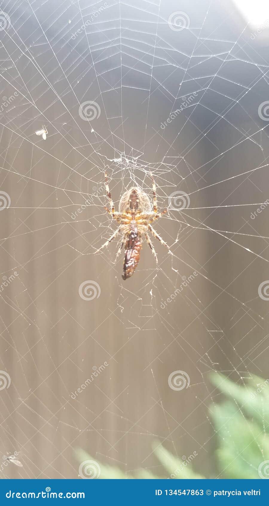 蜘蛛,网在雨中