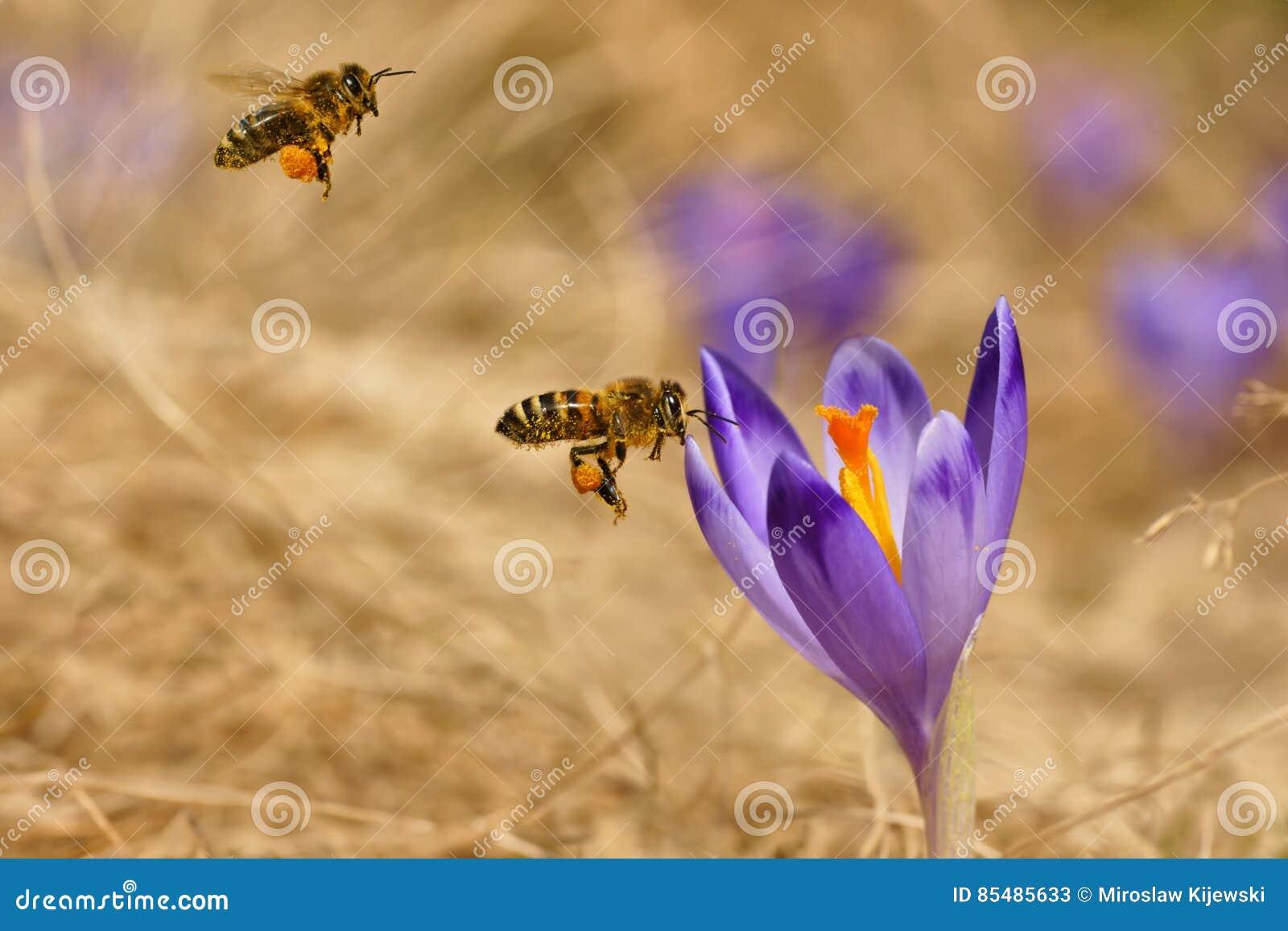 蜜蜂Apis mellifera,飞行在番红花的蜂在春天