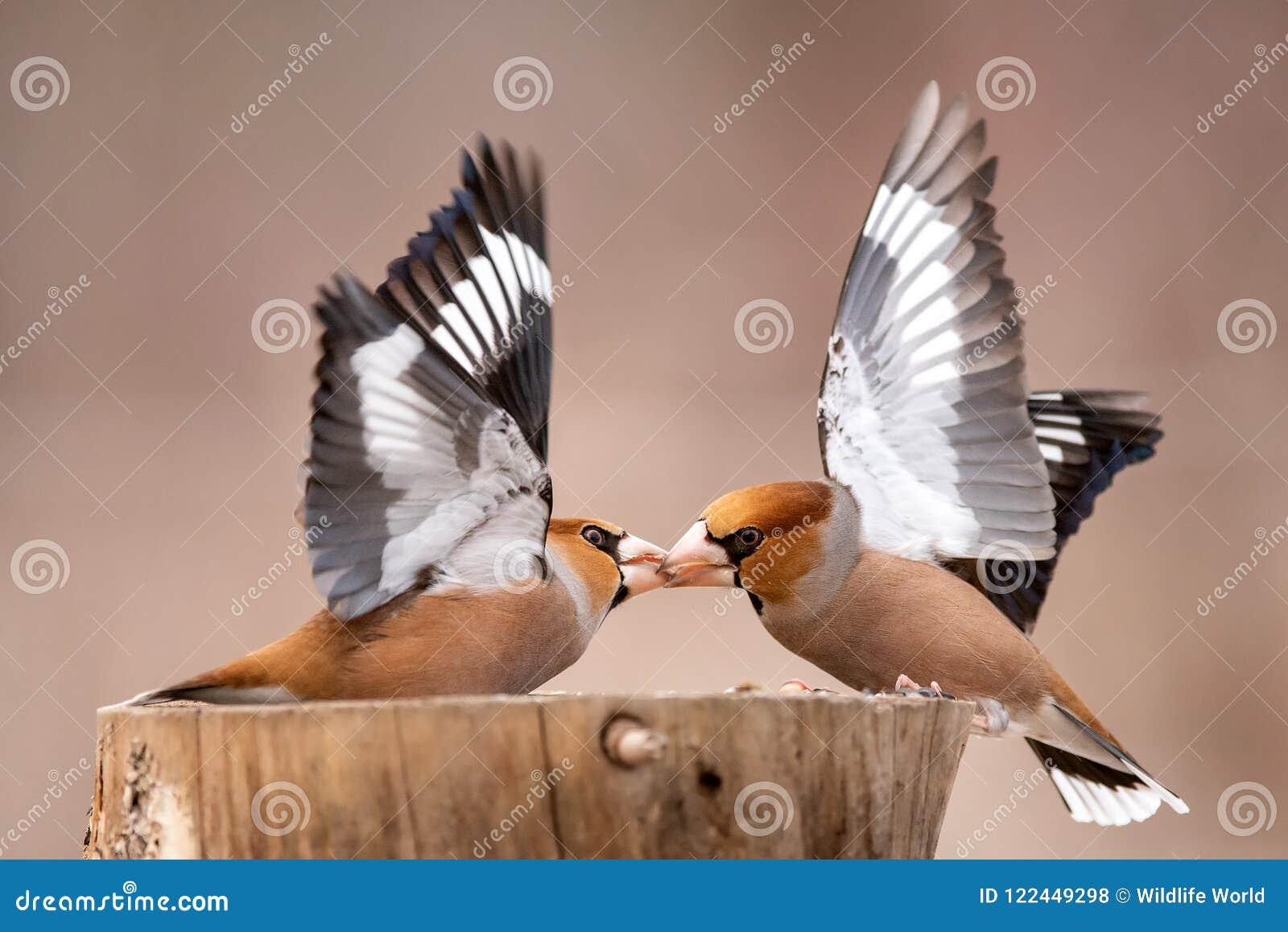 蜡嘴鸟球脆霉素在饲养者的球脆霉素战斗
