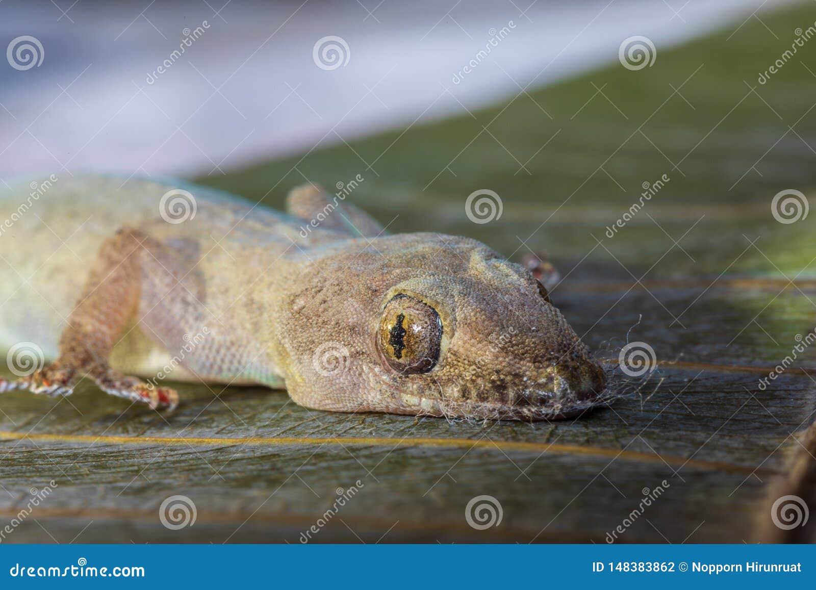 蜥蜴和顶头特写镜头的眼睛