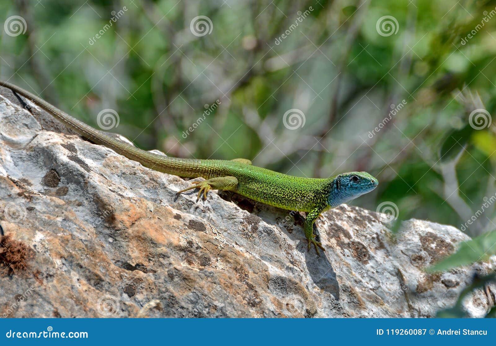 蜥蜴蝎虎座viridis