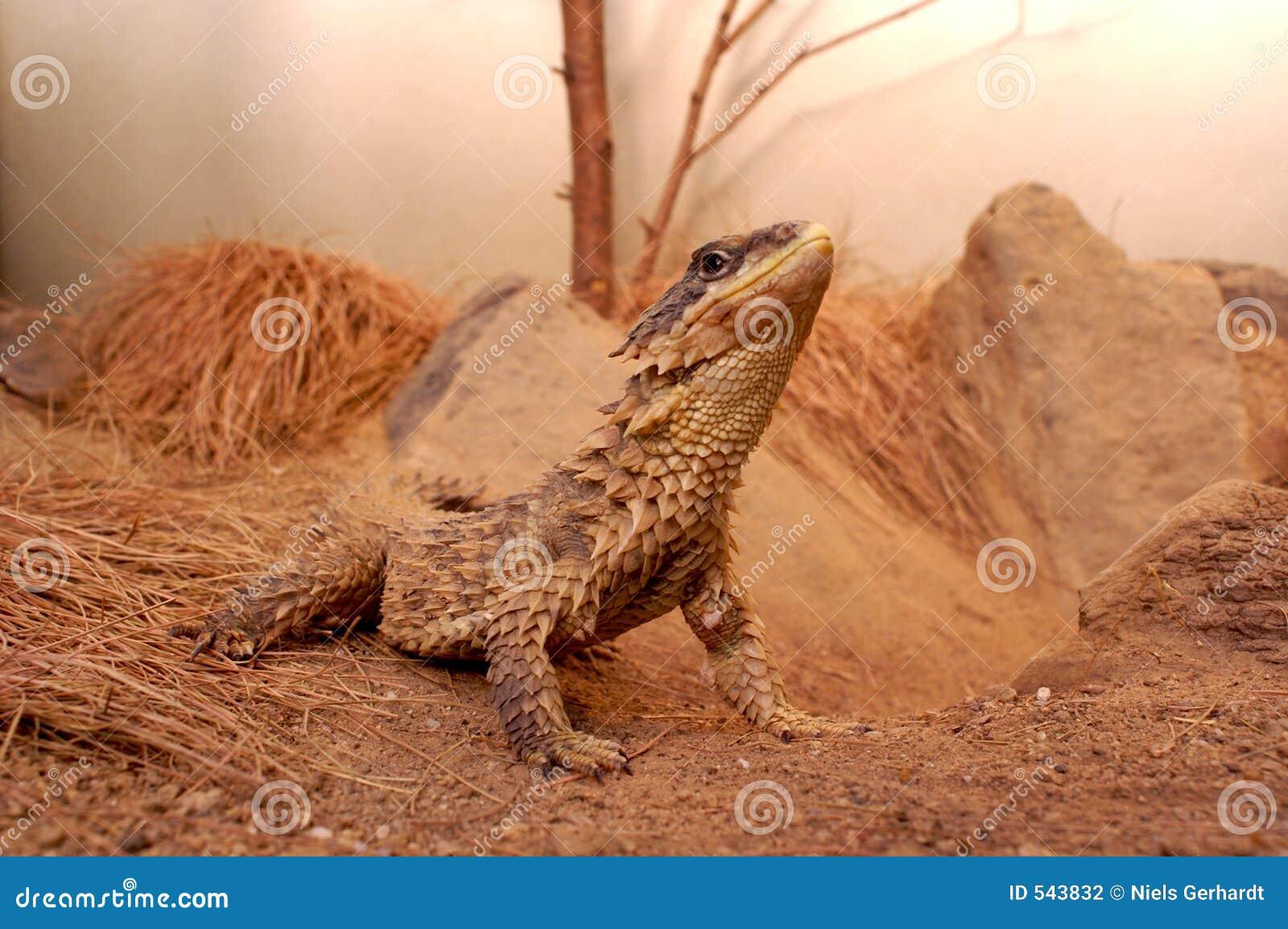 Download 蜥蜴 库存照片. 图片 包括有 野生生物, 墨西哥, 蜥蜴, 户外, 沙漠, 海岛, 滑稽, 舌头, 旅行, 爬行动物 - 543832