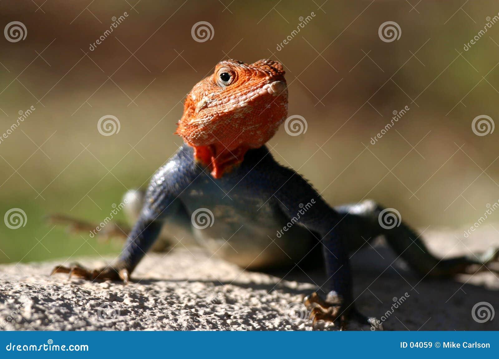 蜥蜴lizzard