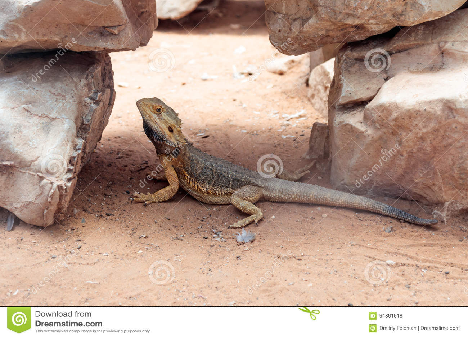 蜥蜴- Pogona vitticeps -有胡子的蜥蜴坐地面在澳大利亚动物园淦宗师在Kibutz Nir大卫在以色列