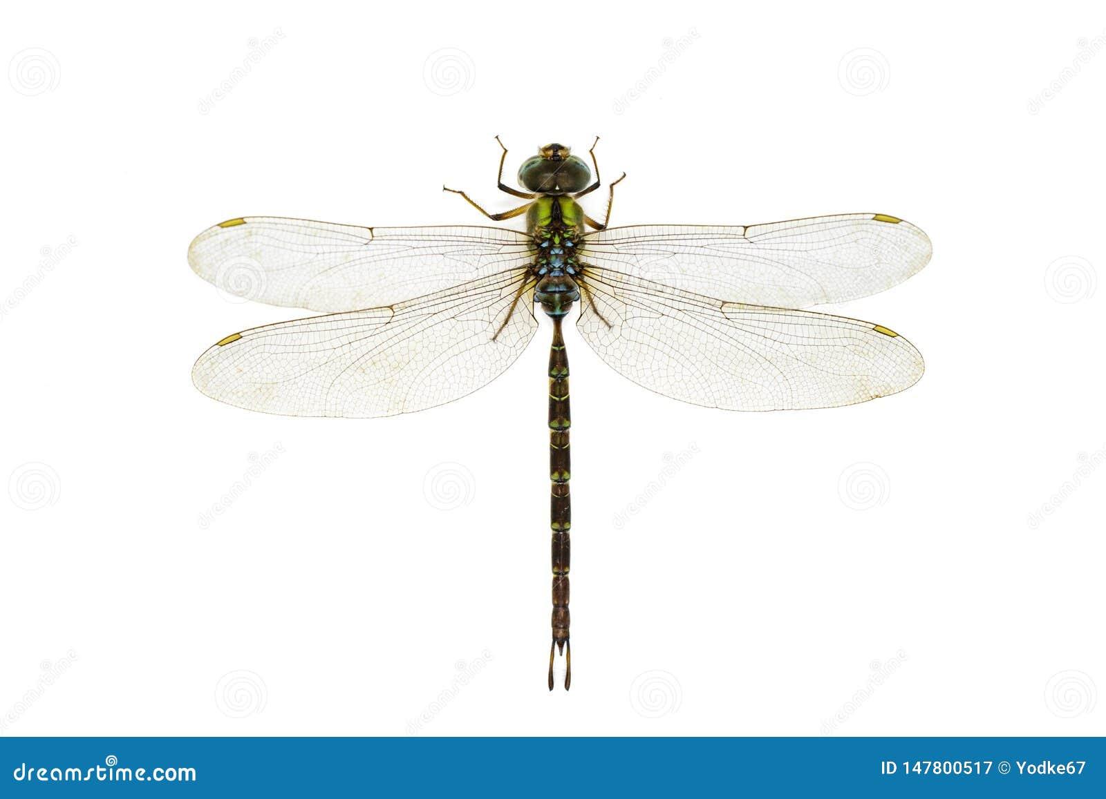 蜻蜓的图象在白色背景的 透明有翼昆虫 ?? ??