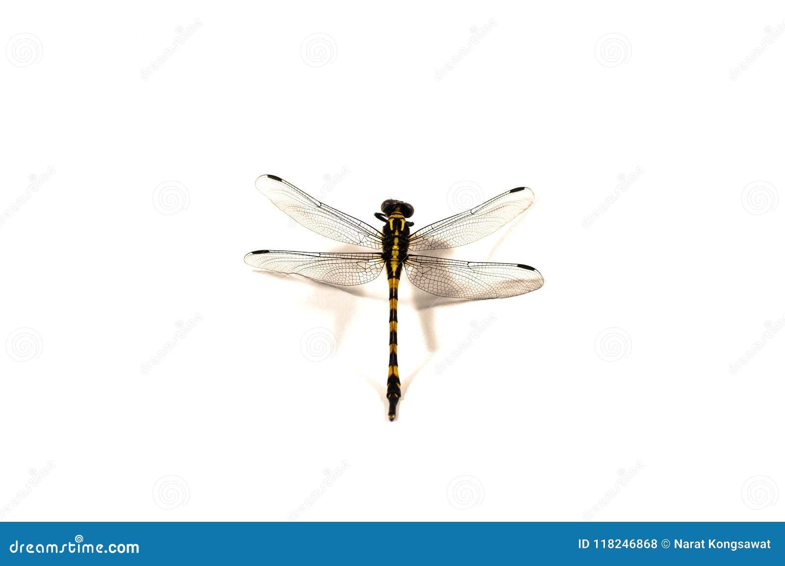 蜻蜓,白色背景