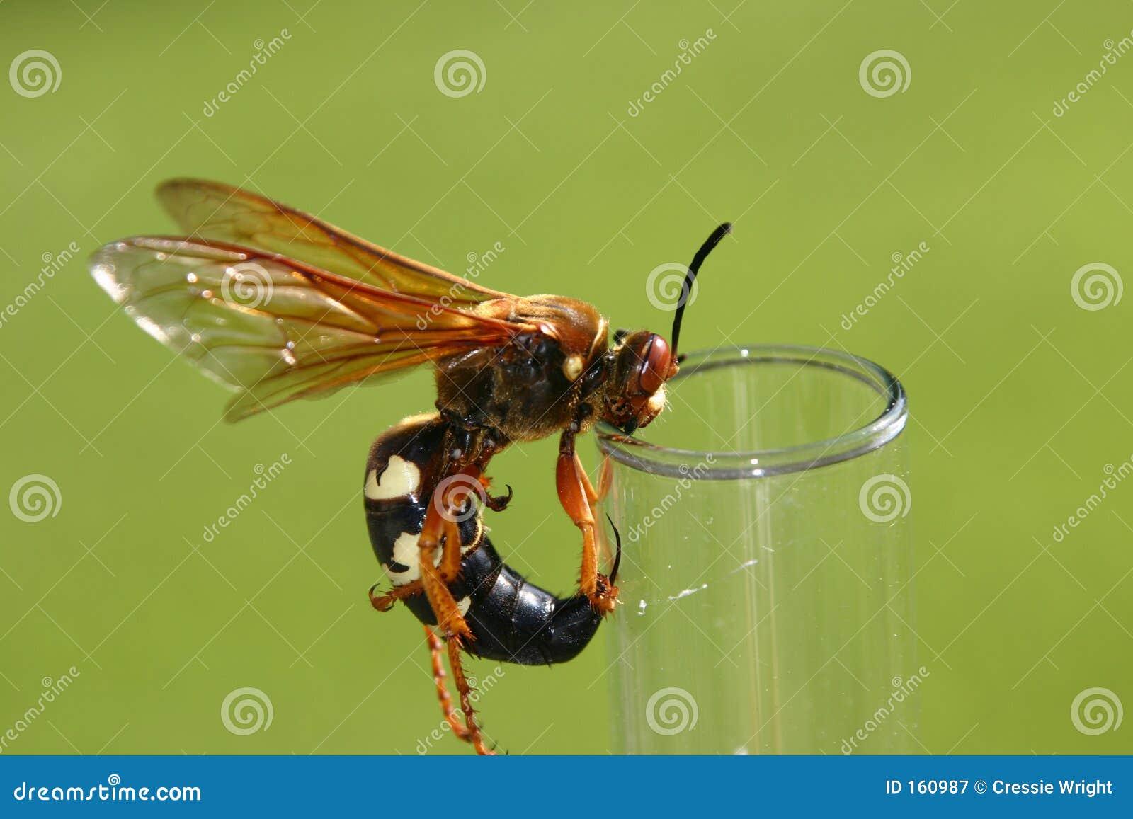 蝉凶手黄蜂