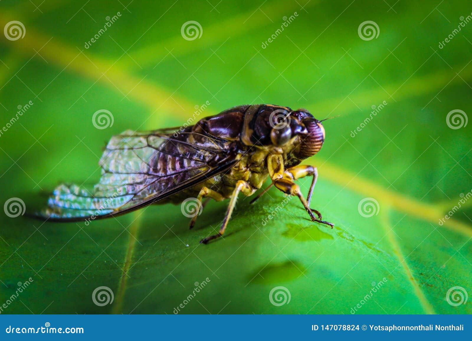 蝉昆虫泰国