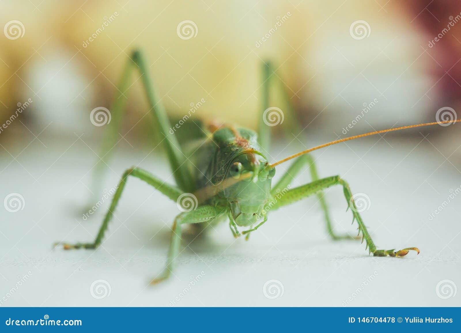 蝗虫或蚂蚱在一个白色桌特写镜头在被弄脏的背景 在宏指令的活绿色害虫 katydid r