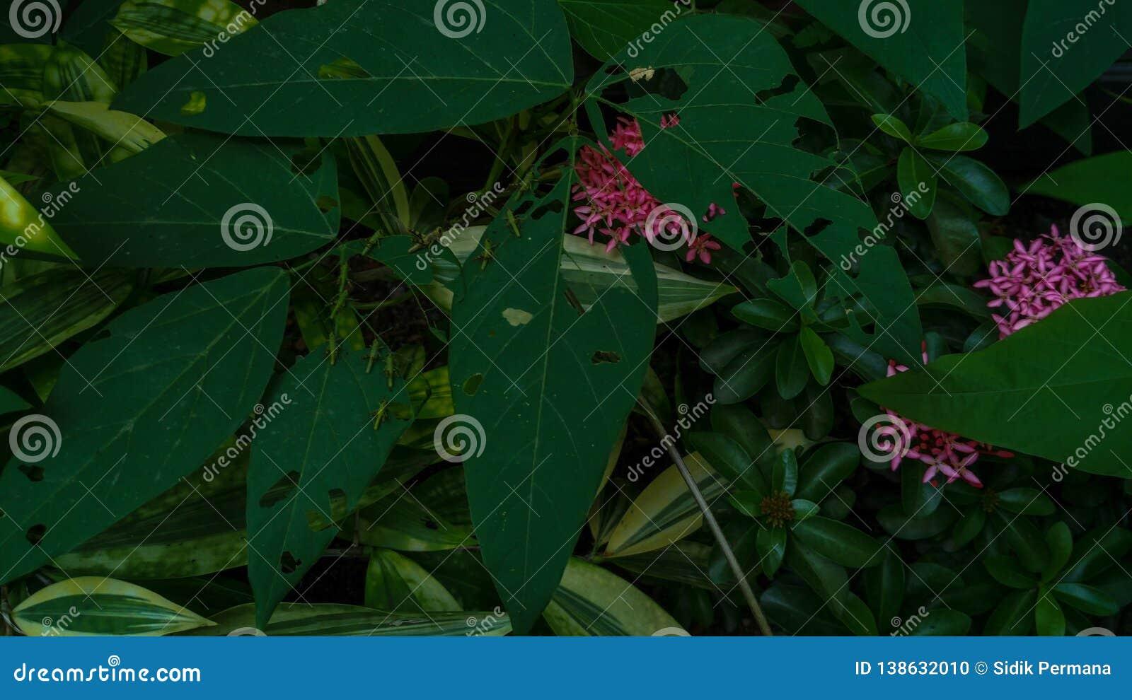 蝗虫或蚂蚱在绿色叶子