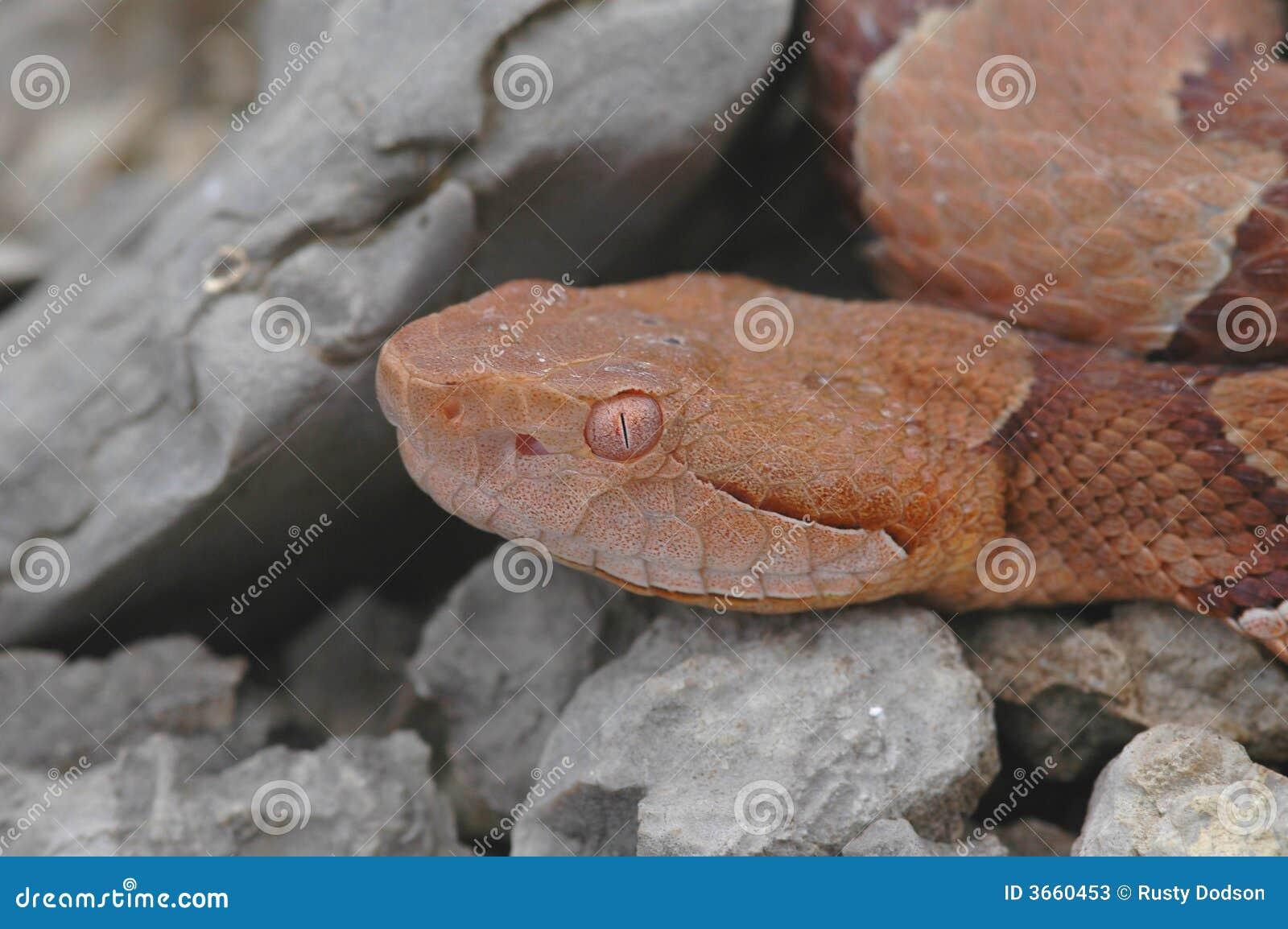 蝮蛇属contortrix phaeogaster