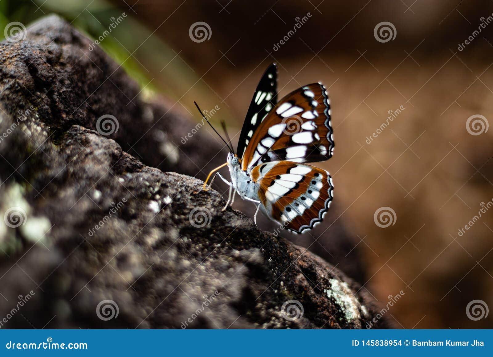 蝴蝶在岩石的特写镜头射击