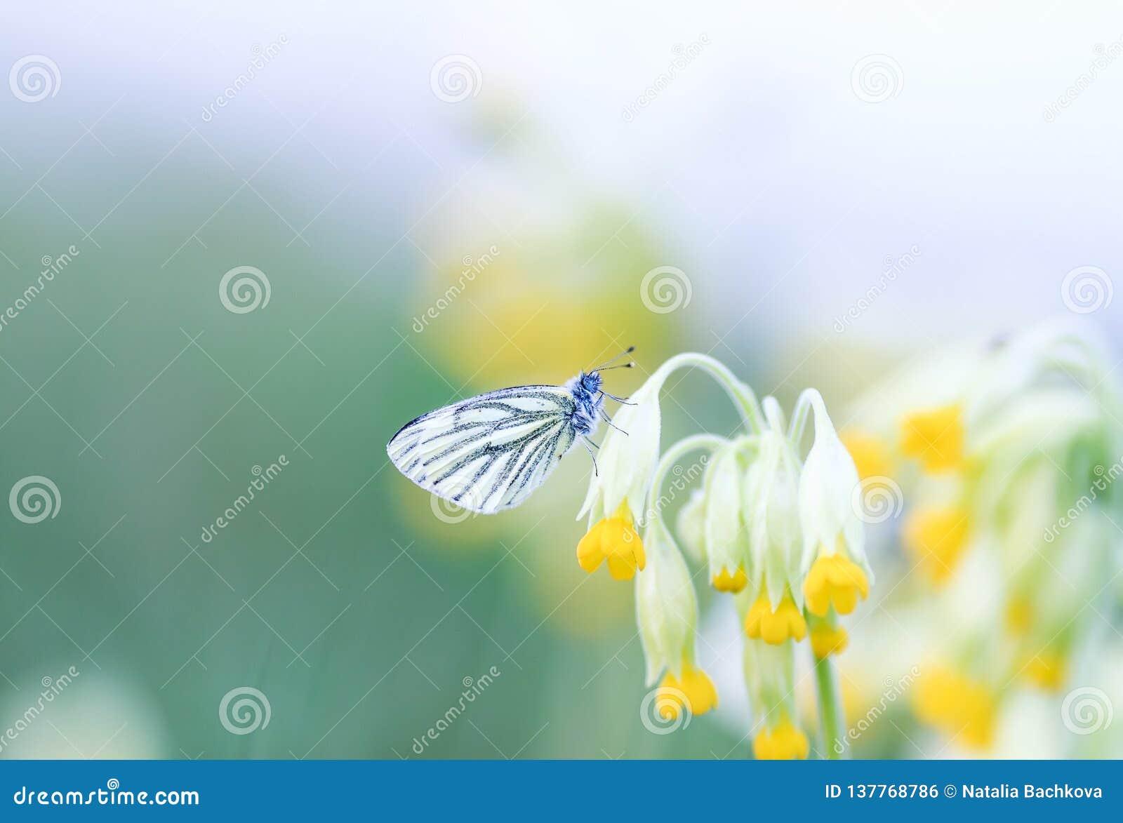 蝴蝶坐报春花的黄色花的春天绿色草甸