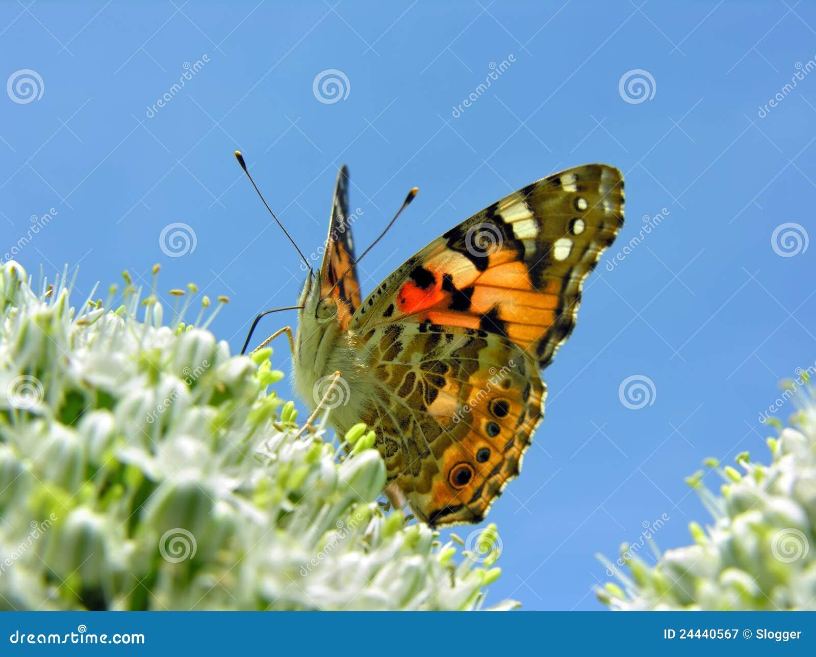 蝴蝶开花的葱