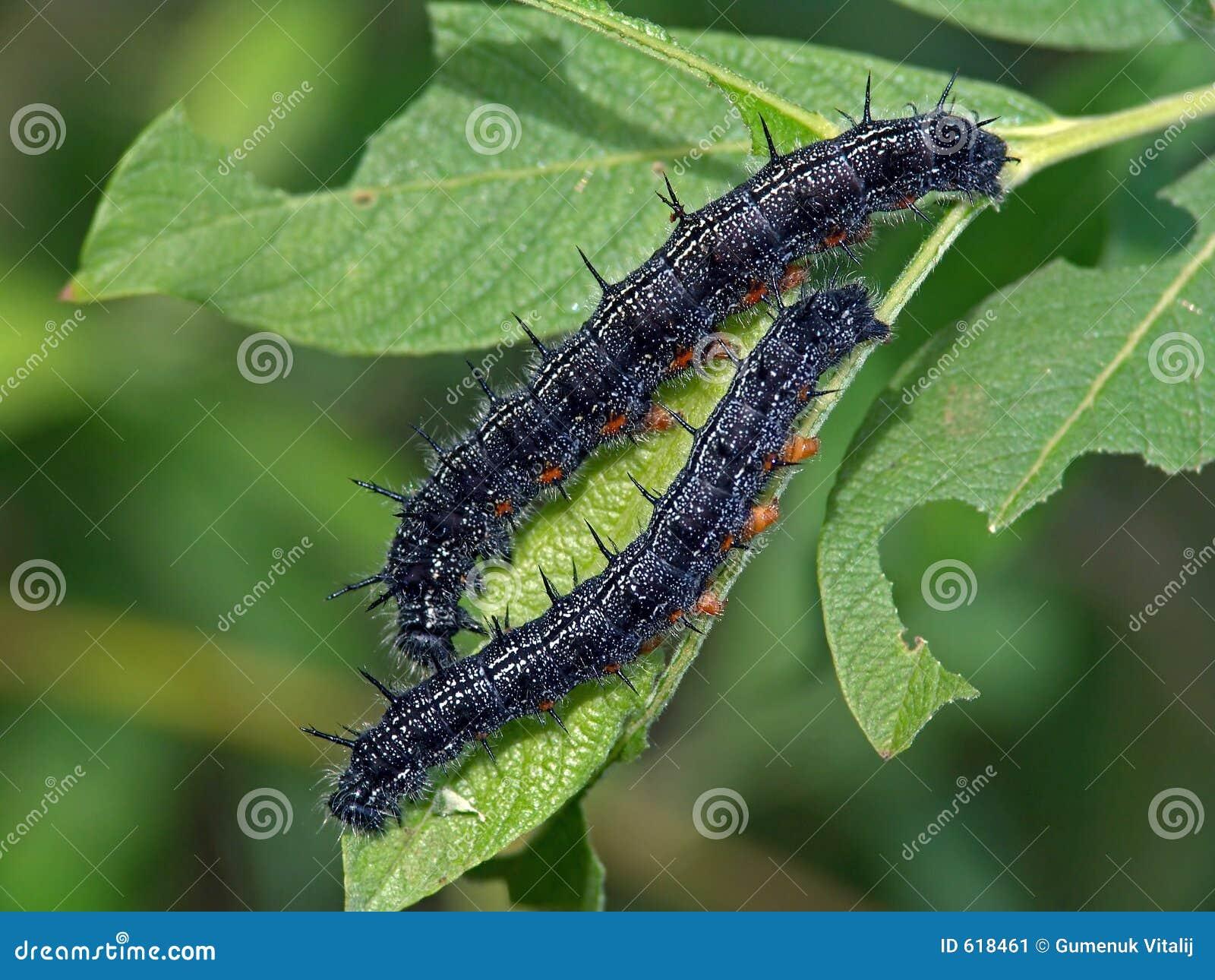 蝴蝶毛虫系列蛱蝶科