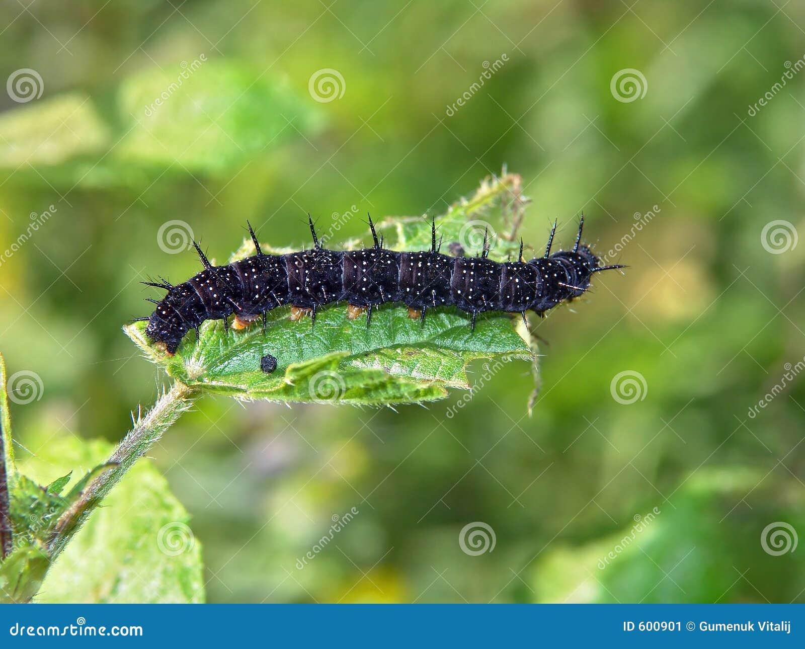 蝴蝶毛虫io nymphalis