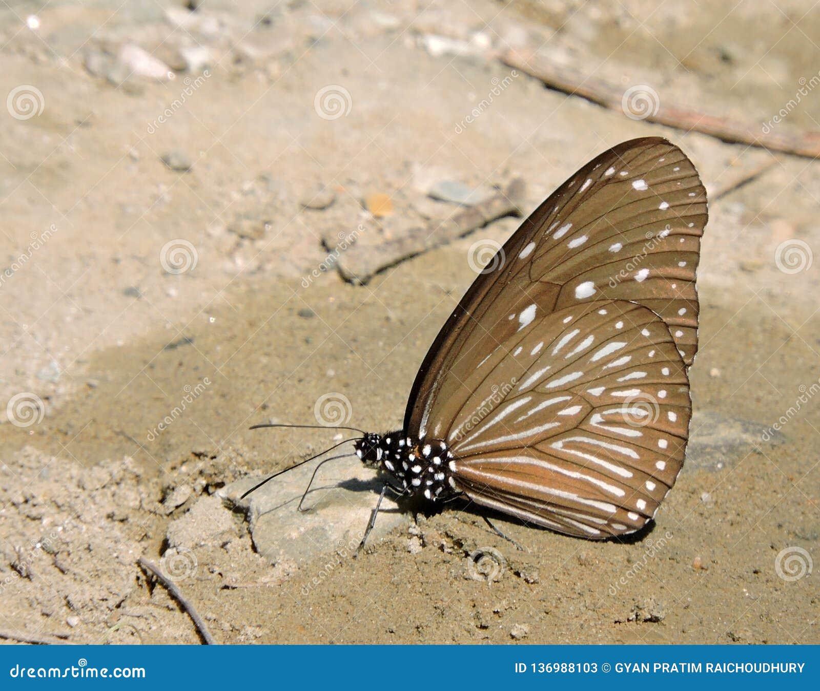 蝴蝶玻璃状老虎