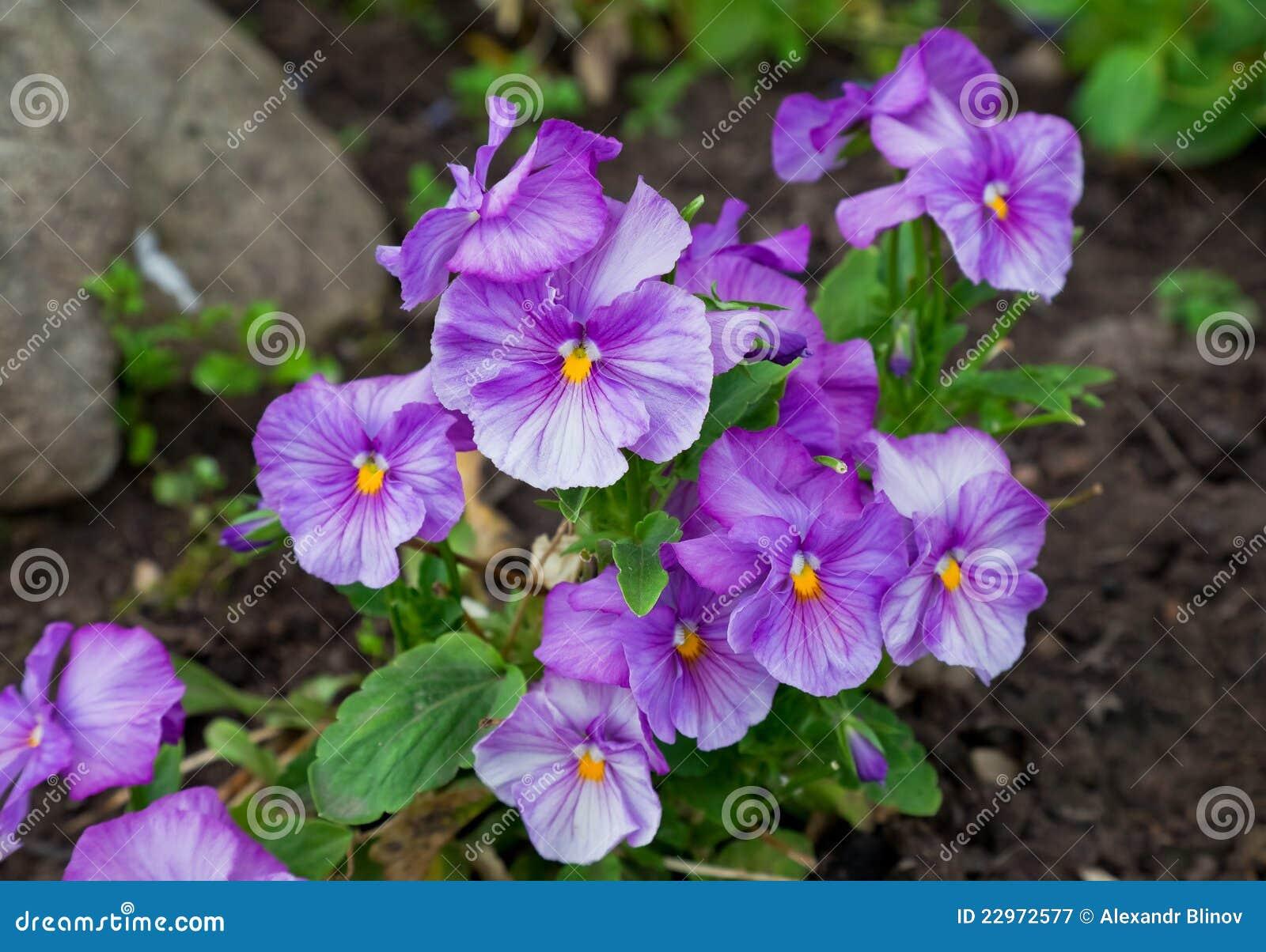 蝴蝶花violas