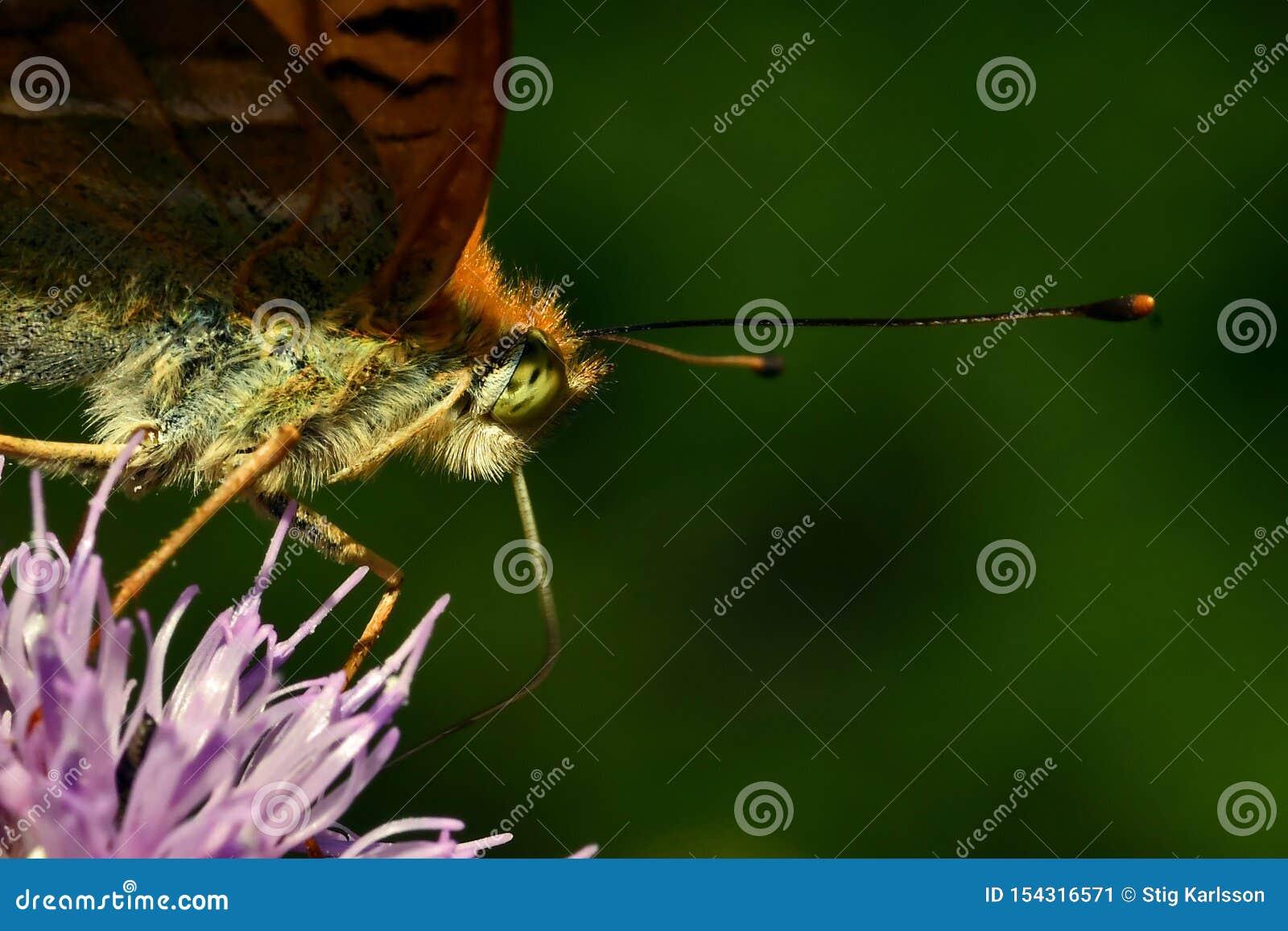 蝴蝶银被洗涤的贝母Argynnis paphia