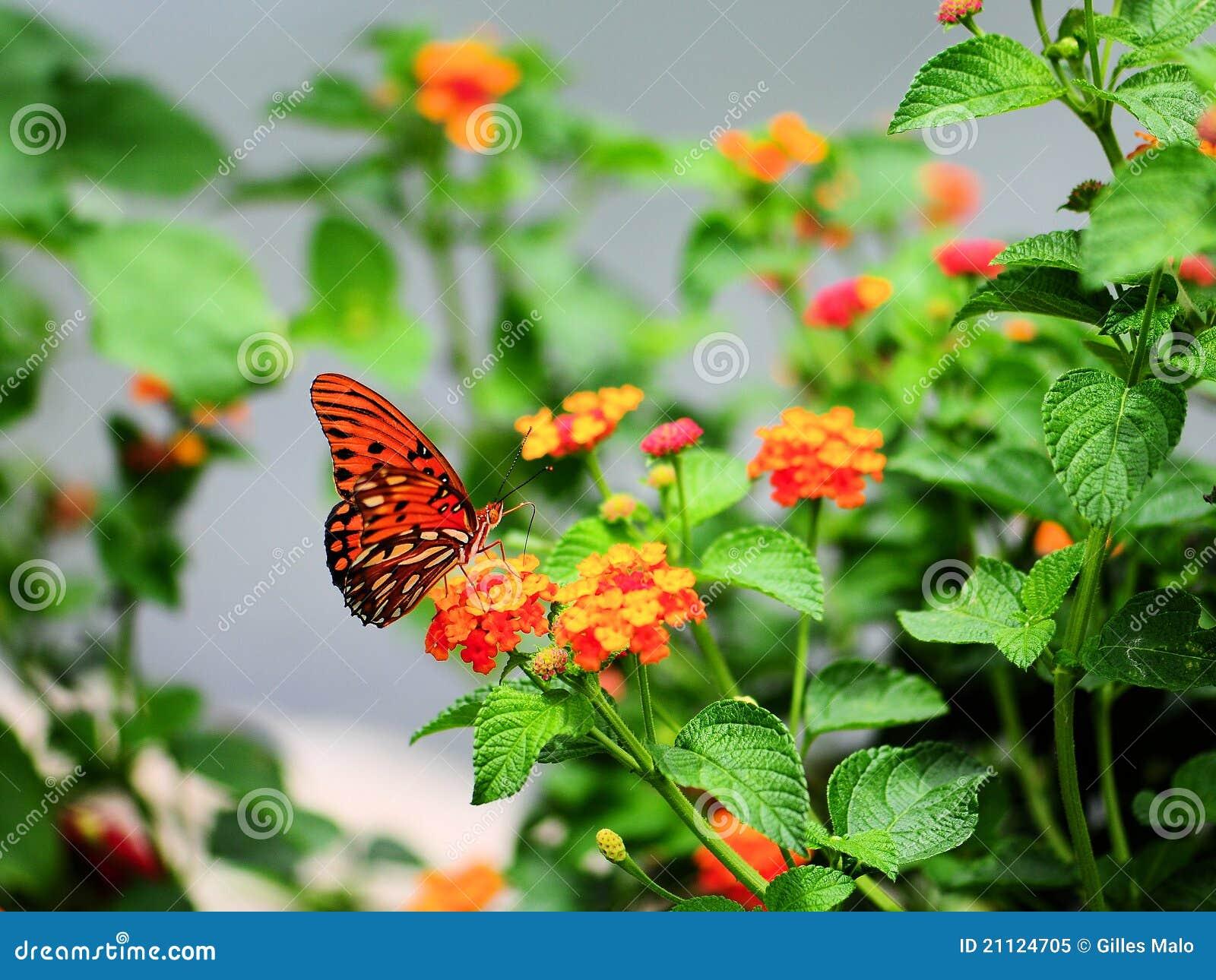 蝴蝶马樱丹属