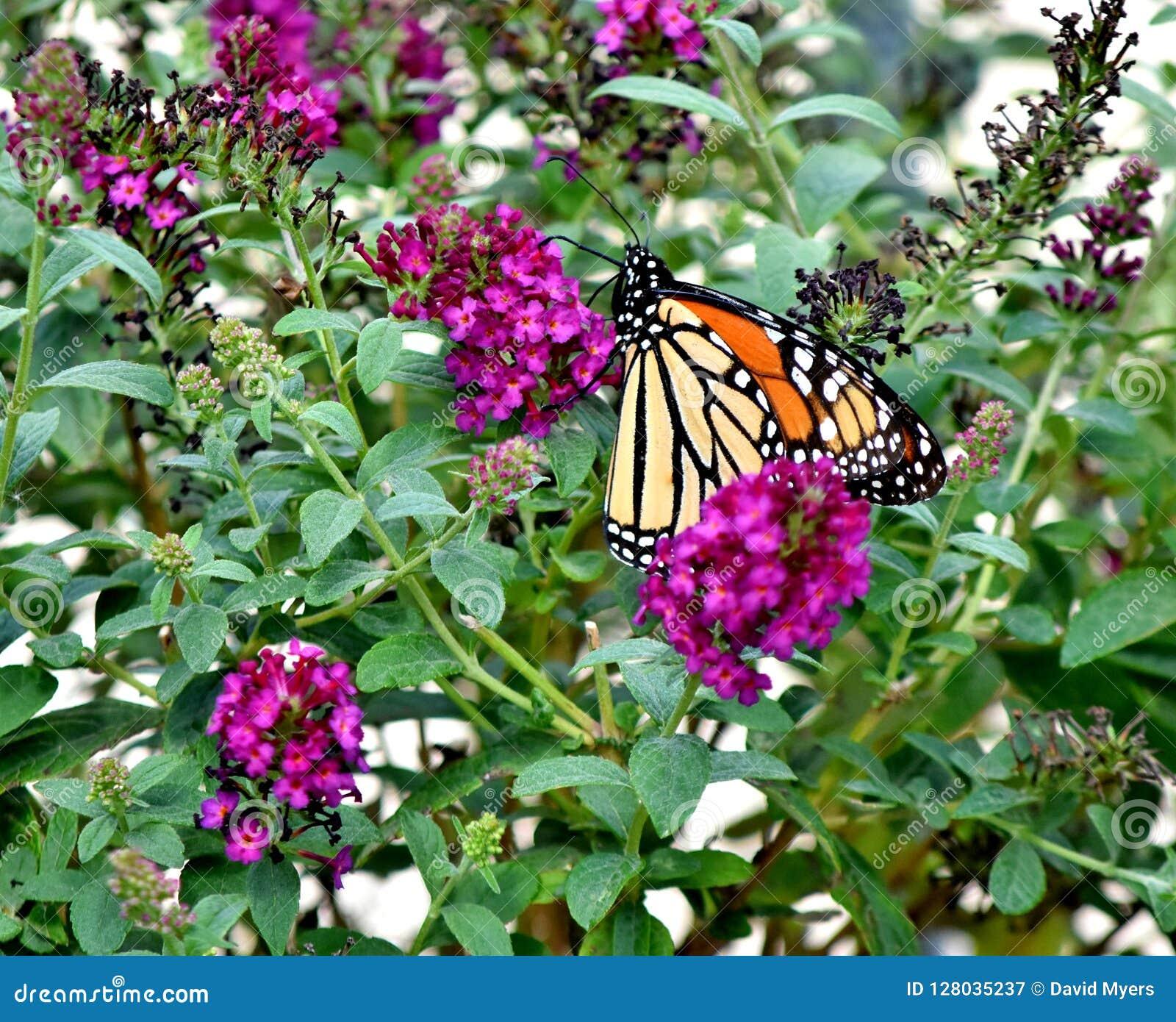 蝴蝶,国君,移居南部对俄克拉何马市