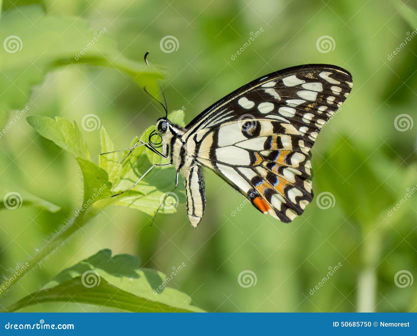 Download 蝴蝶 库存照片. 图片 包括有 触手, 热带, 本质, 飞行, 昆虫, 眼睛, 栖所, 节肢动物, beautifuler - 50685750