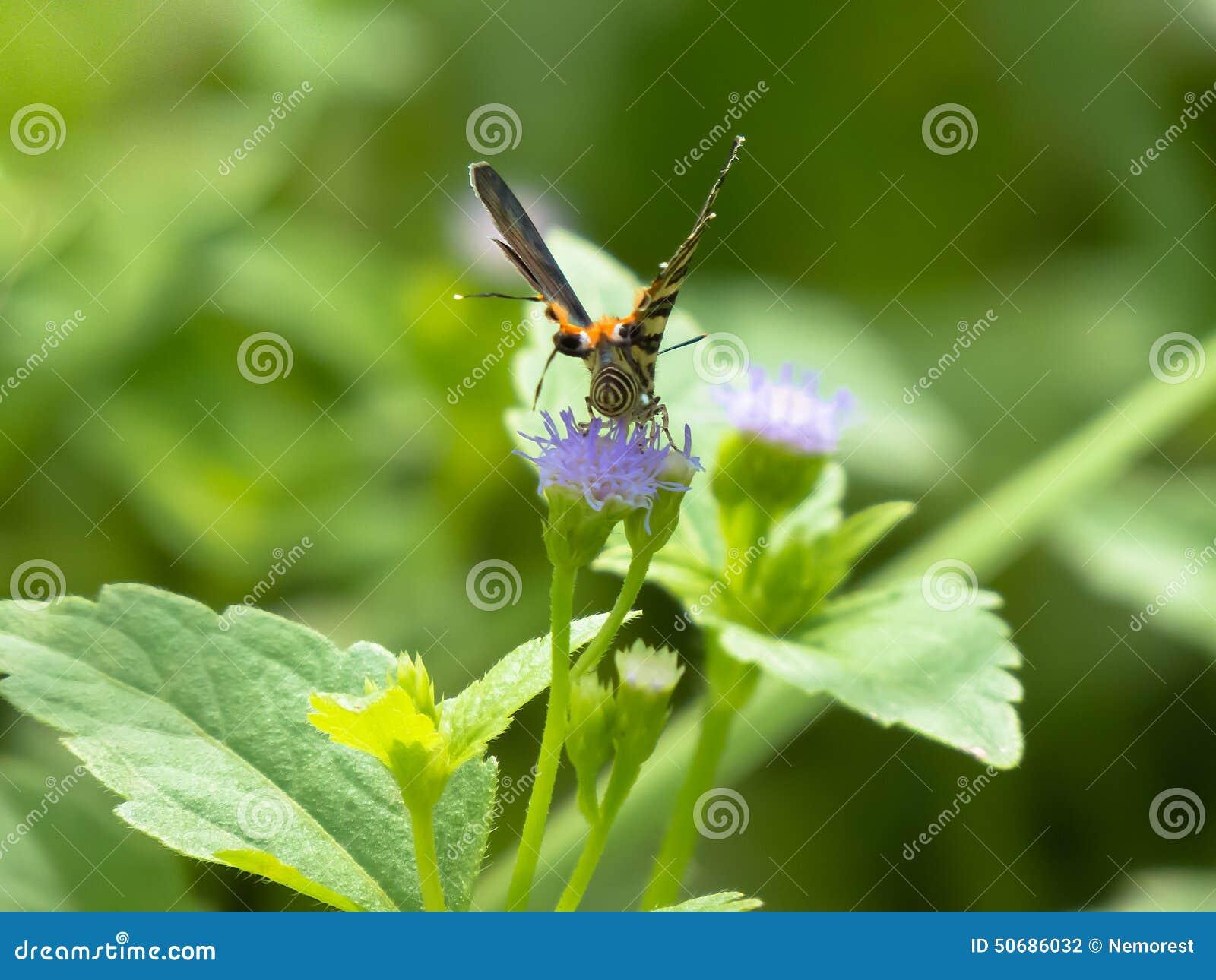 Download 蝴蝶 库存照片. 图片 包括有 节肢动物, 昆虫学家, 热带, 农村, 扩大化, 正横, 触手, 本质, 放大 - 50686032