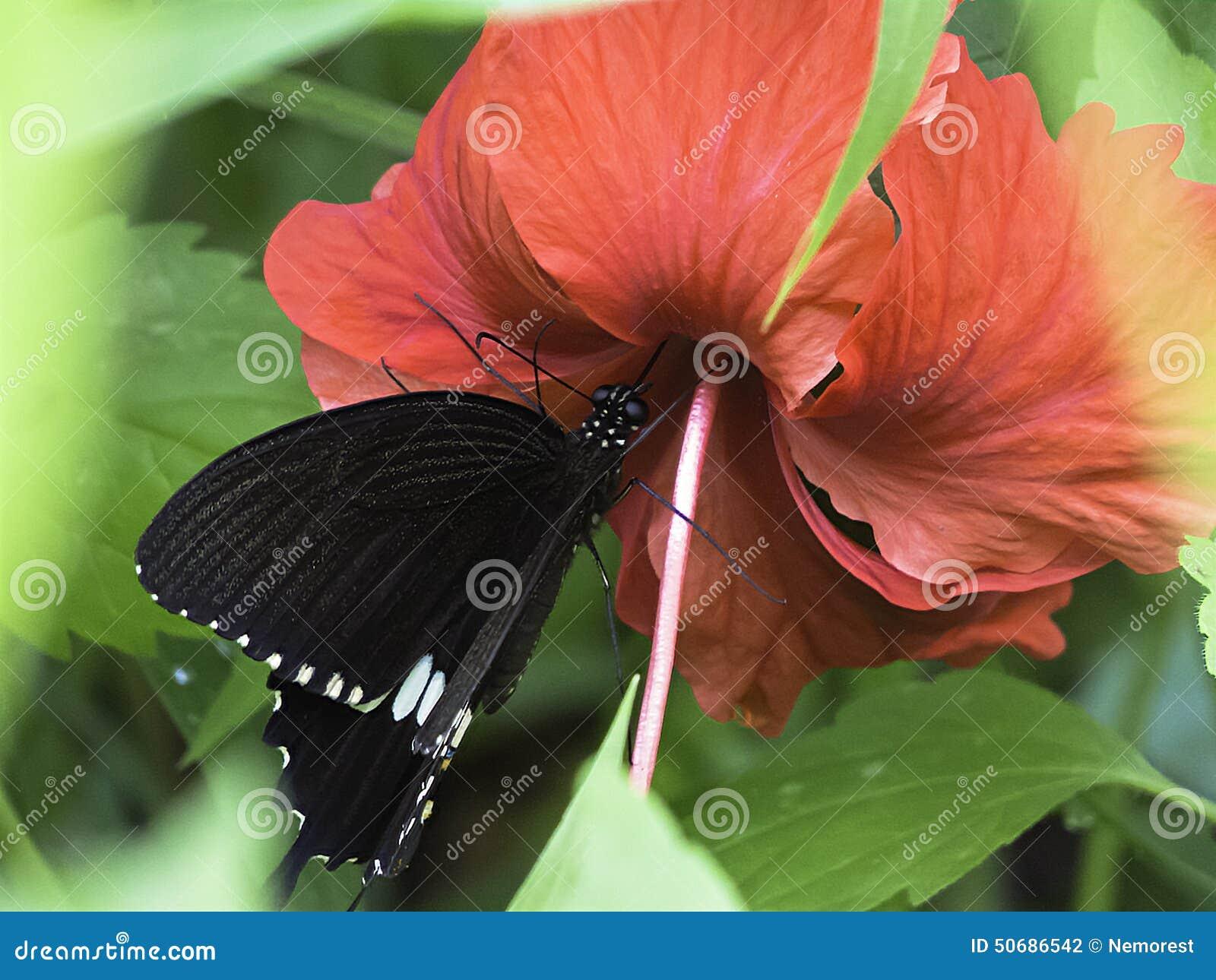 Download 蝴蝶 库存照片. 图片 包括有 扩大化, 正横, beautifuler, 本质, 昆虫学, 化合物, 飞行 - 50686542
