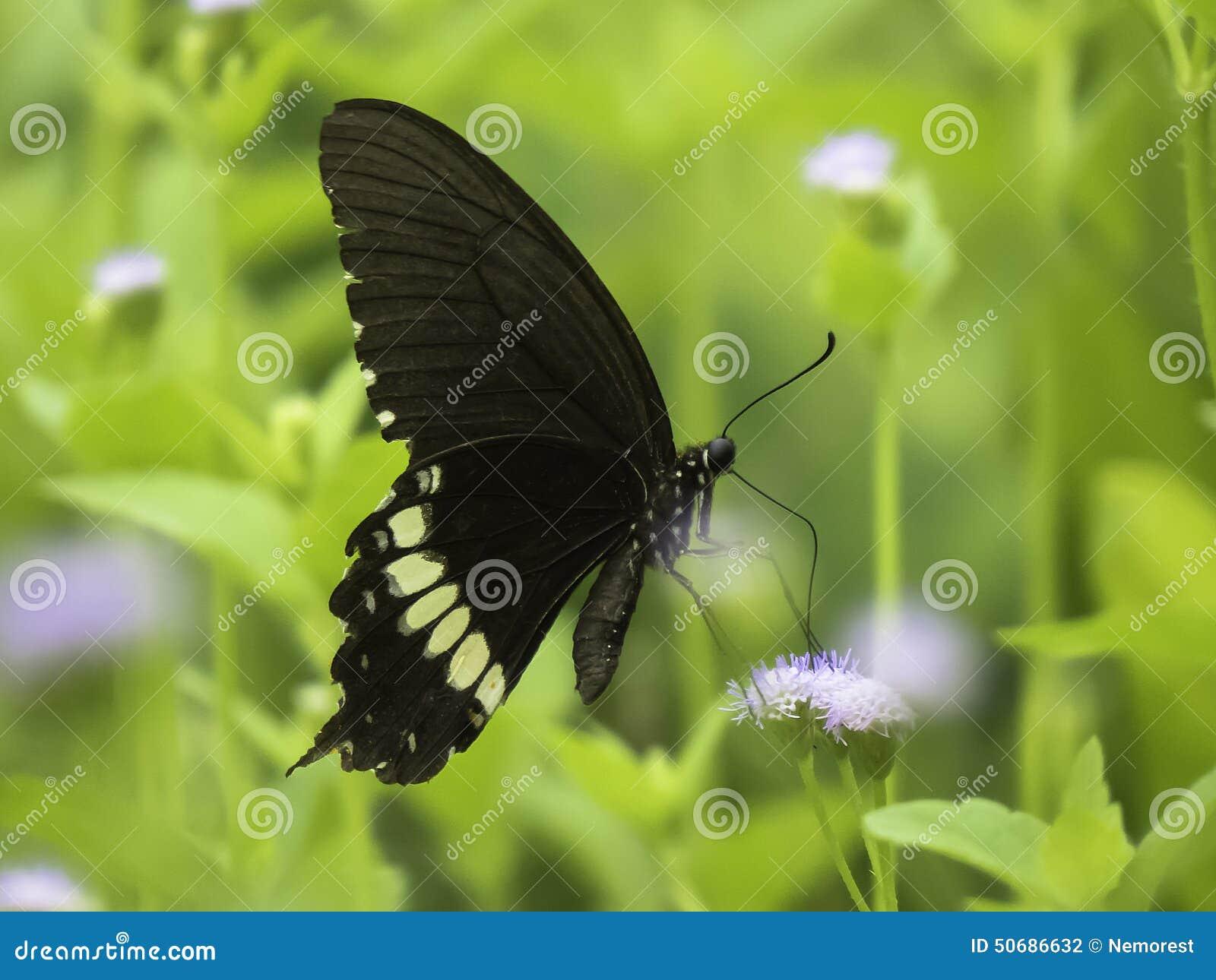 Download 蝴蝶 库存照片. 图片 包括有 农村, 栖所, 触手, beautifuler, 扩大化, 正横, 昆虫学 - 50686632