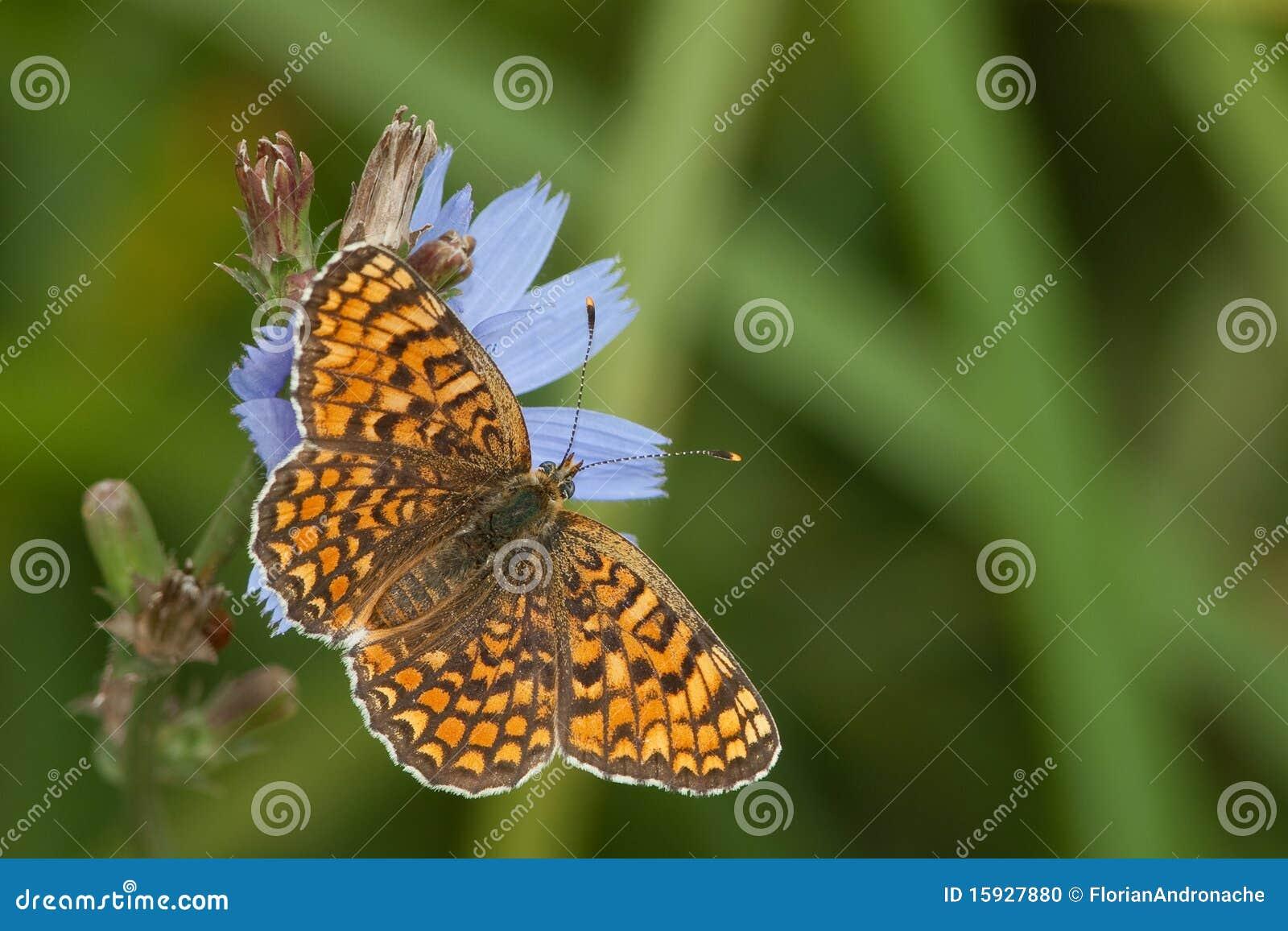 蝴蝶cinxia贝母glanville melitaea
