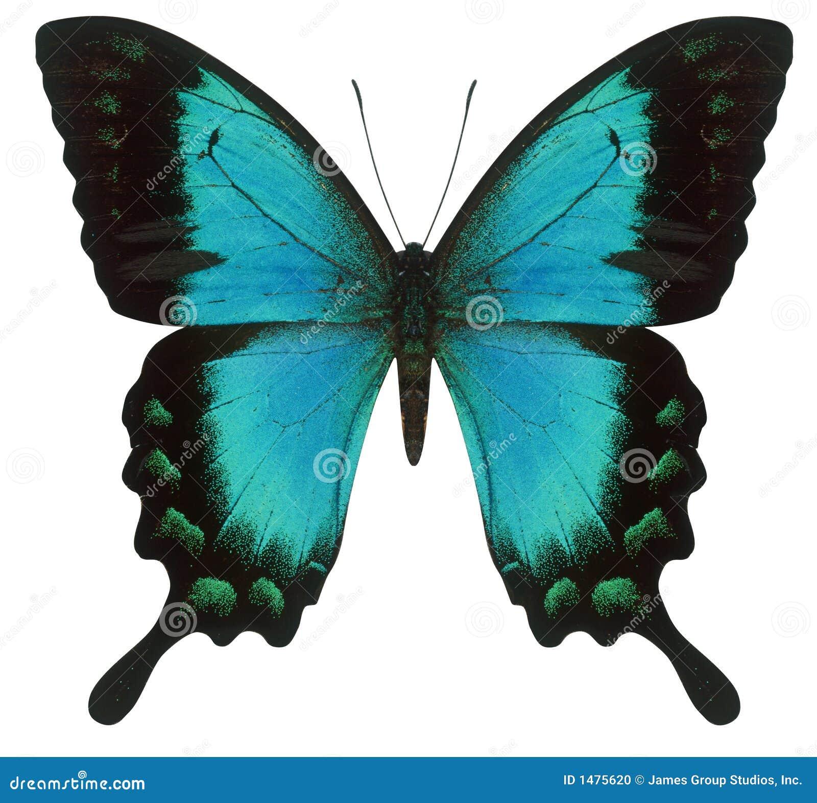 蝴蝶swallowtail