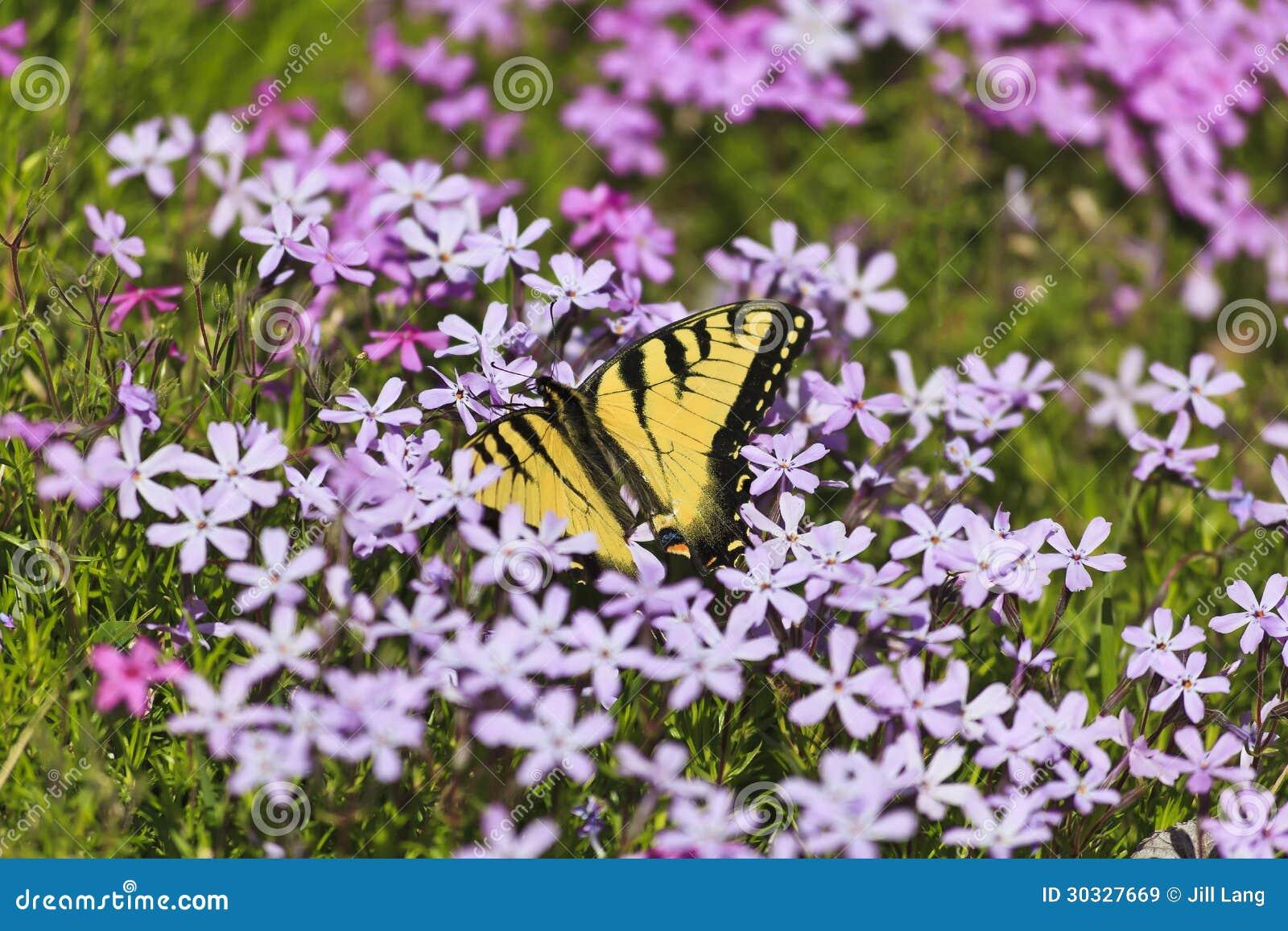 蝴蝶和紫色Pholx