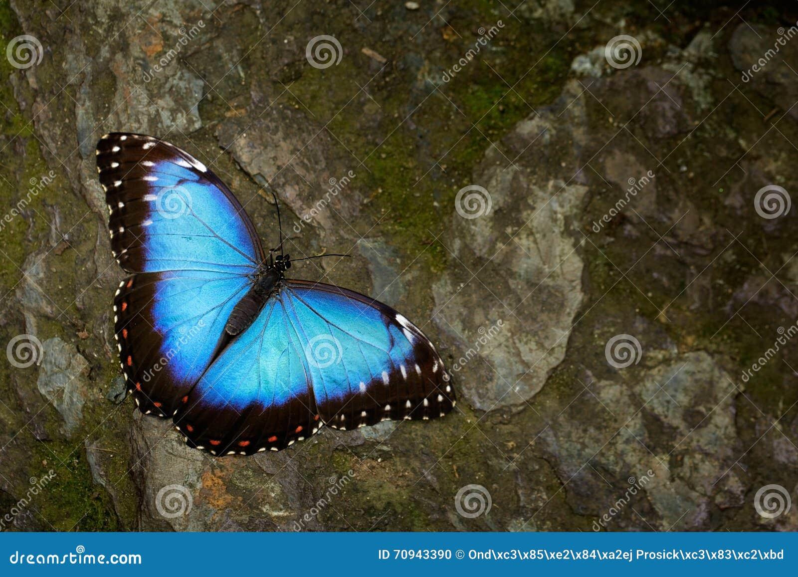 蝴蝶蓝色Morpho, Morpho peleides 大蓝色蝴蝶坐灰色岩石,美丽的昆虫在自然栖所,野生生物