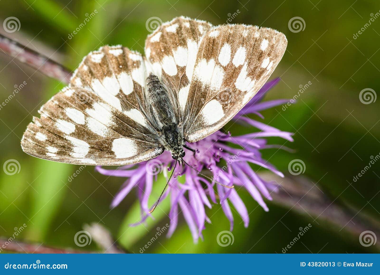 黑矢车菊属花矢车菊scabiosa的使有大理石花纹的白色蝴蝶melanargia g