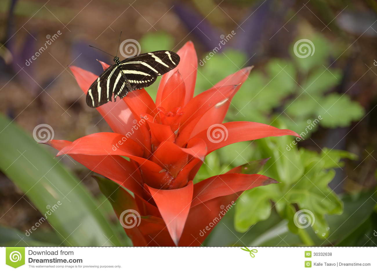 蝴蝶heliconius charitonius