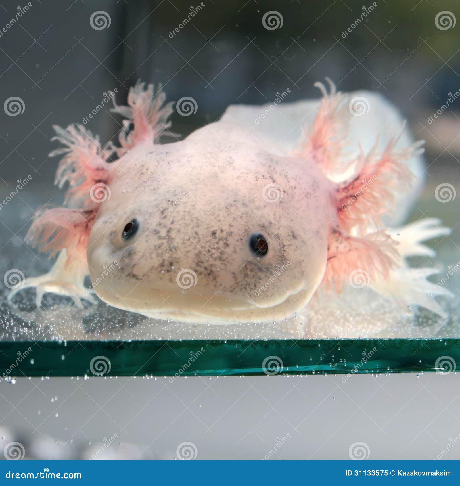 蝾螈或墨西哥蝾(钝口螈属mexicanum)是一只neotenic蝾.图片