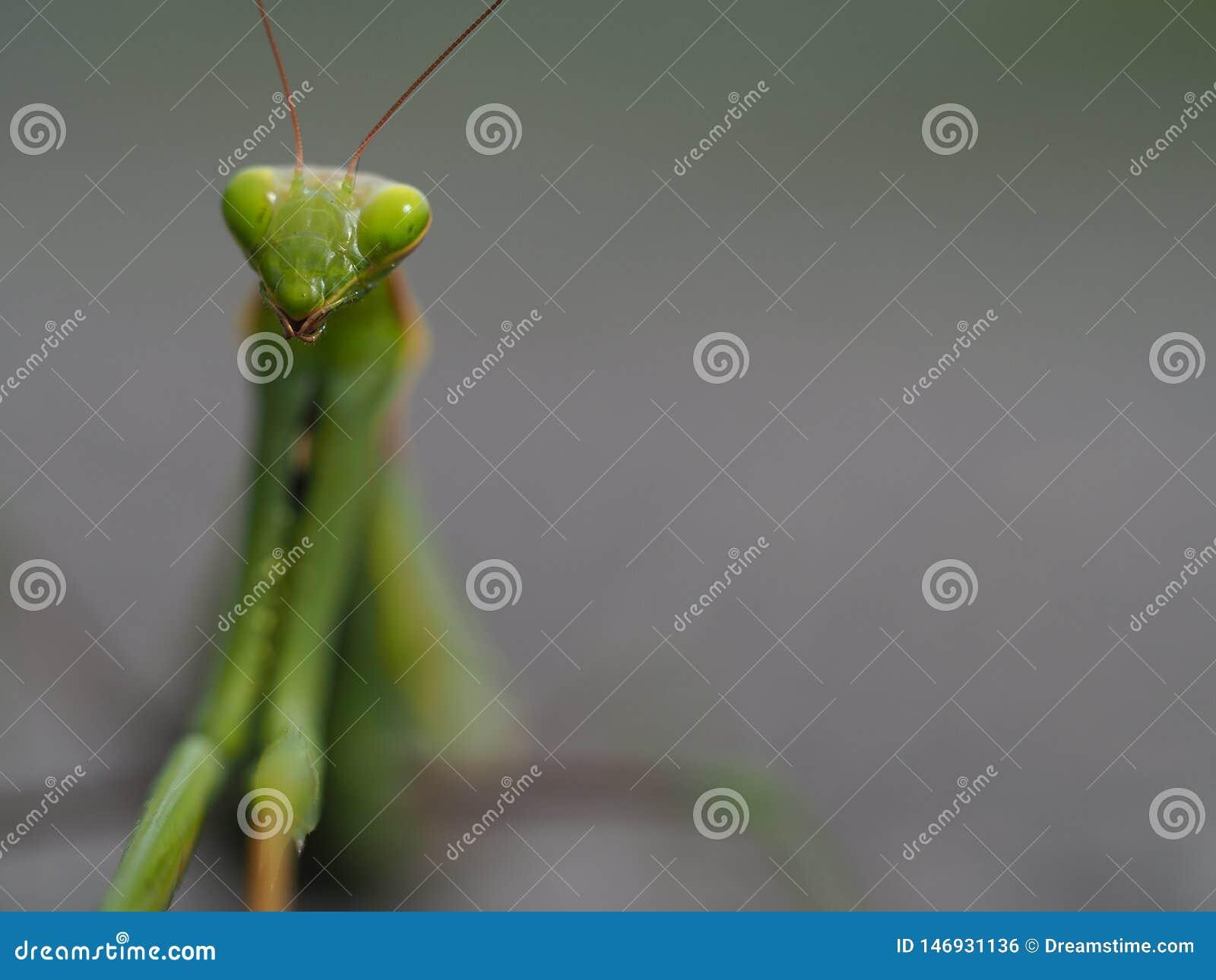 螳螂在灰色背景中