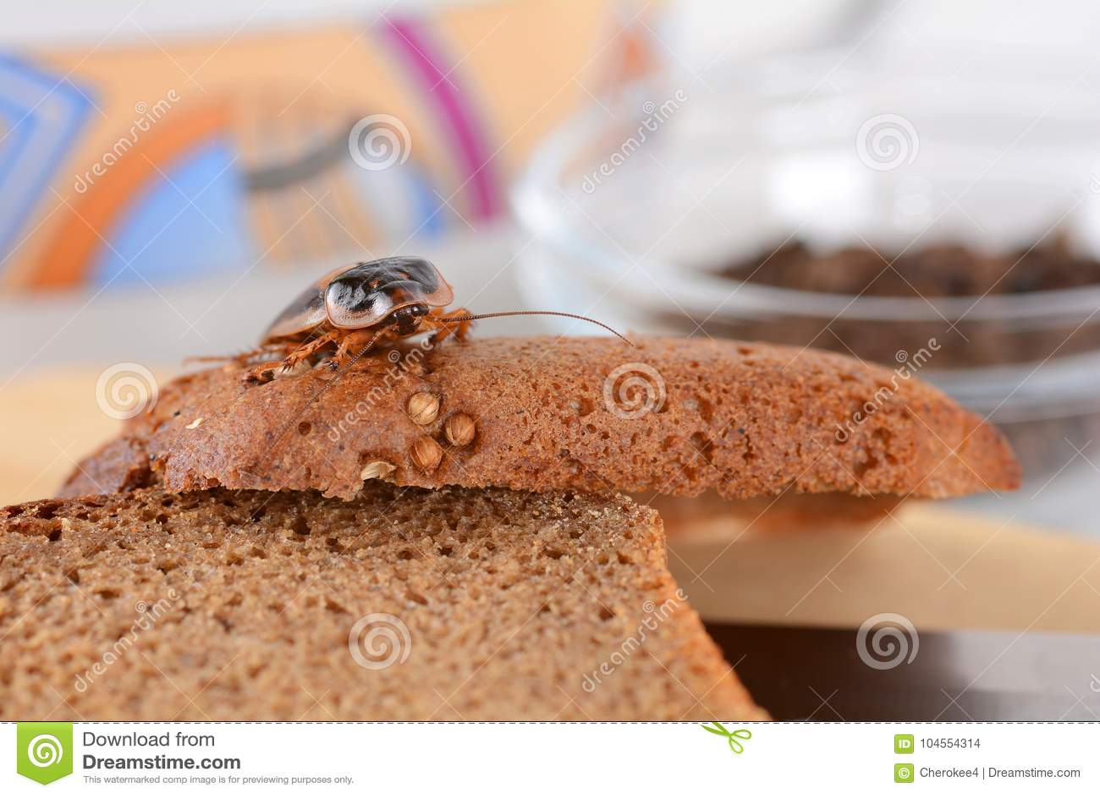 蟑螂在厨房里 由于蟑螂,问题是在房子里 吃在厨房里的蟑螂