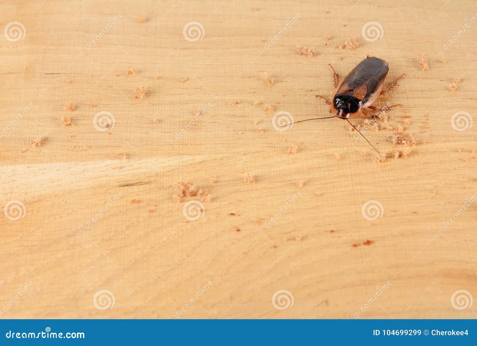 蟑螂在厨房里 由于蟑螂,问题是在房子里