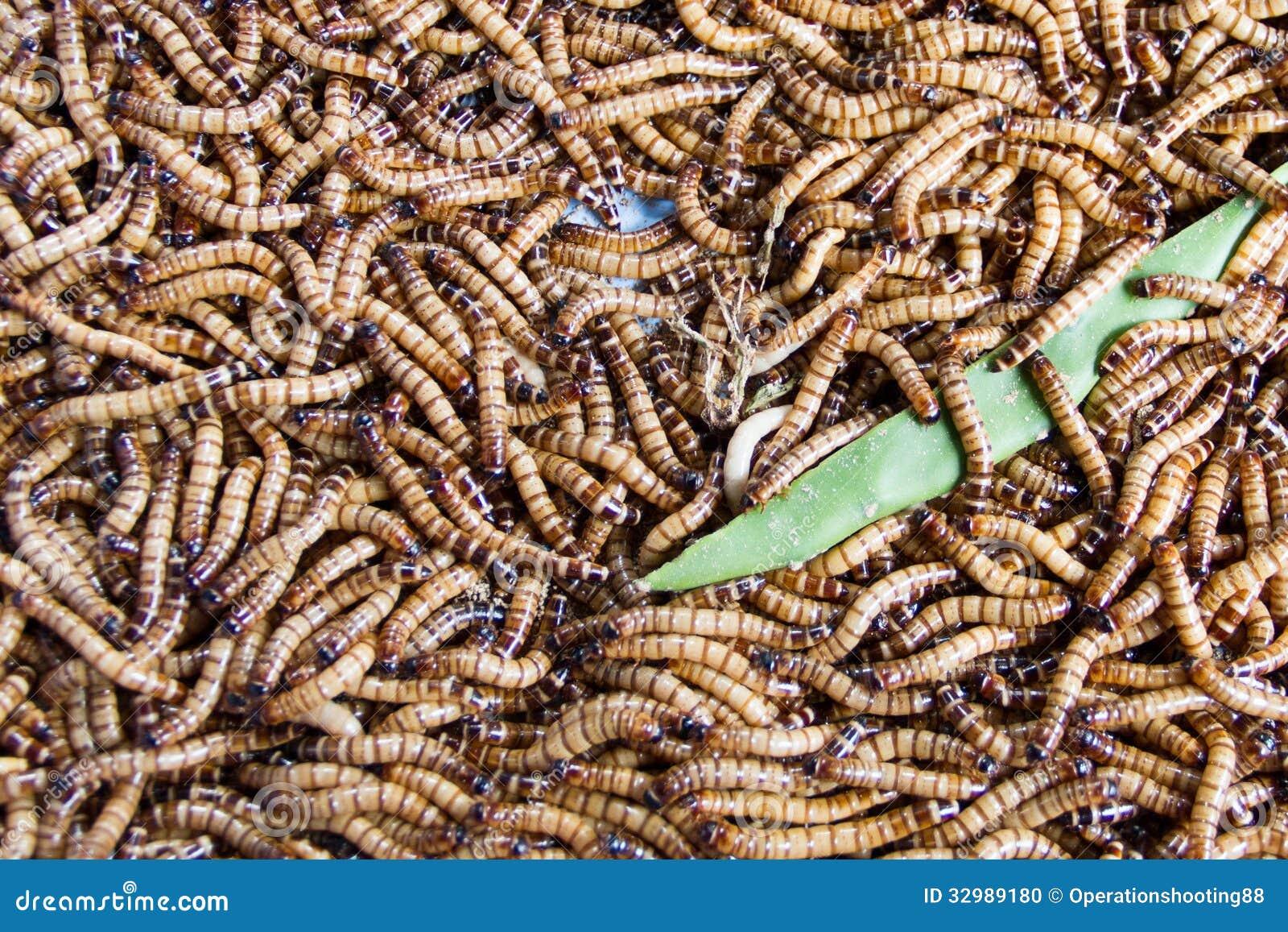 食人蠕虫_蠕虫