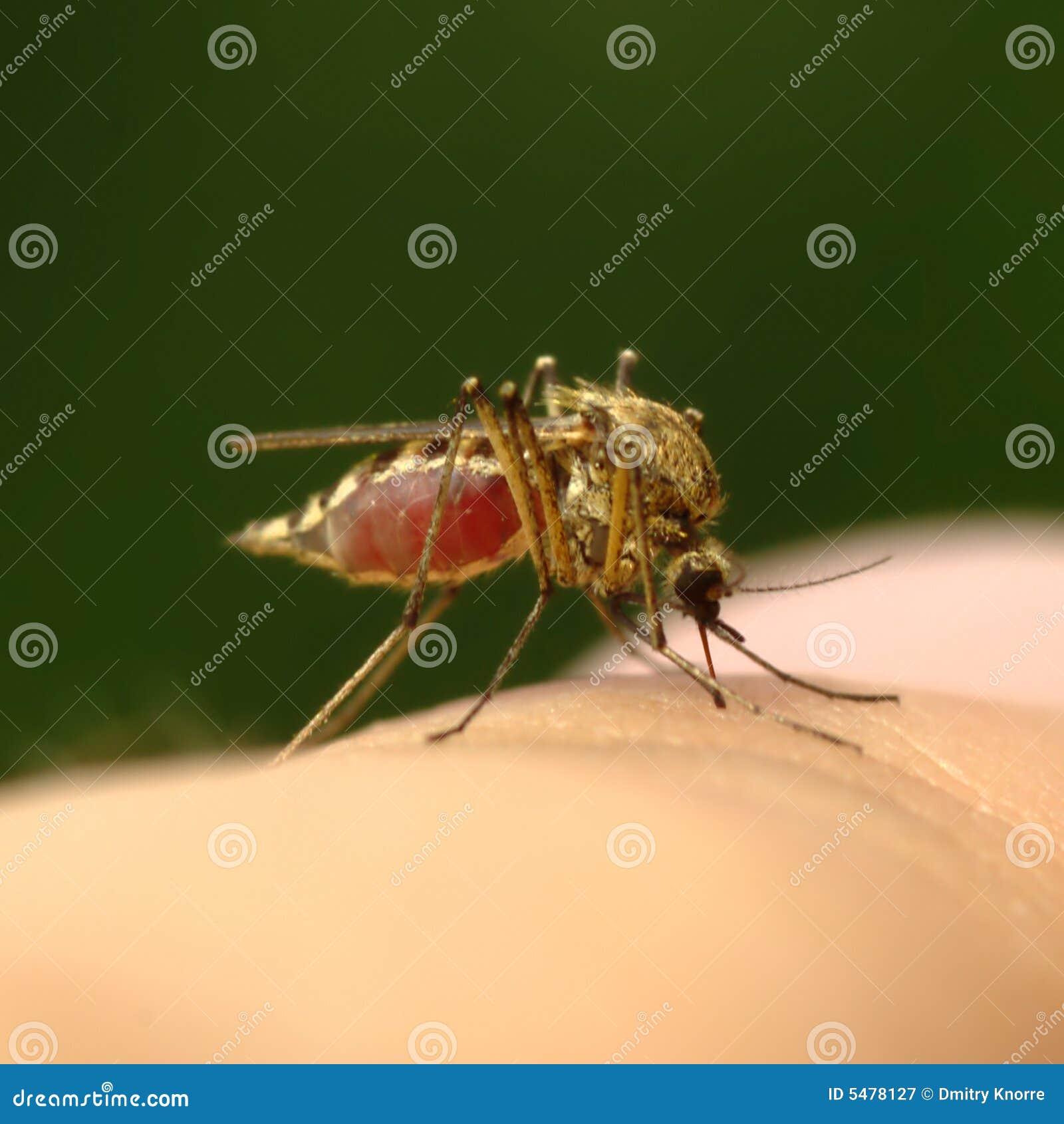 血液充分的蚊子