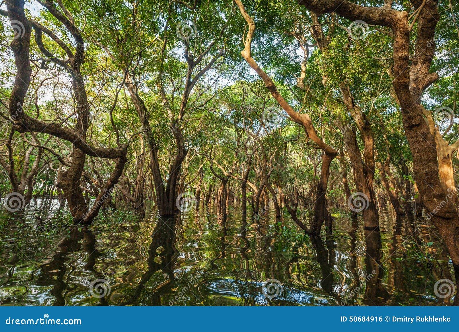 Download 被充斥的树在美洲红树雨林里 库存照片. 图片 包括有 反映, 柬埔寨, 聚会所, 柬埔语, 反射, 藤本植物 - 50684916