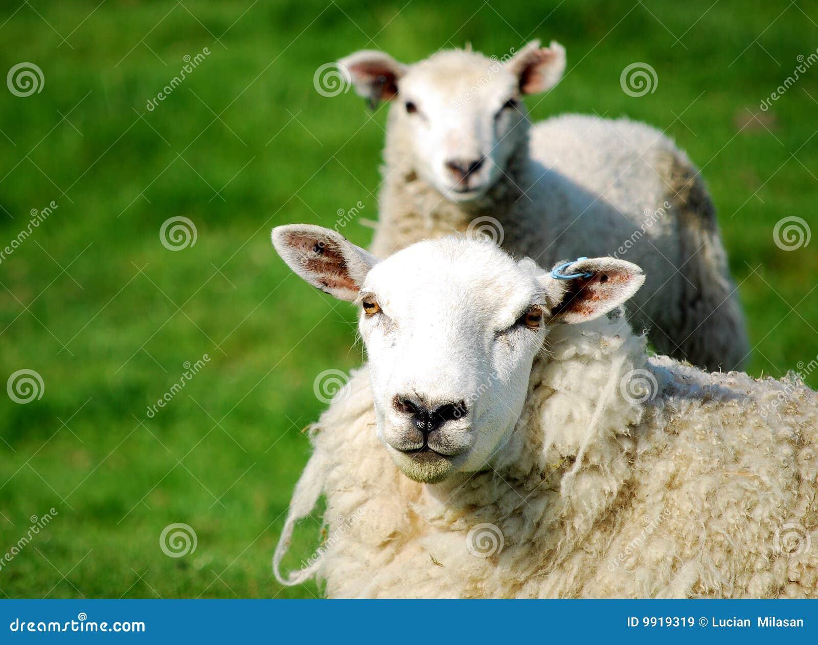被克隆的绵羊