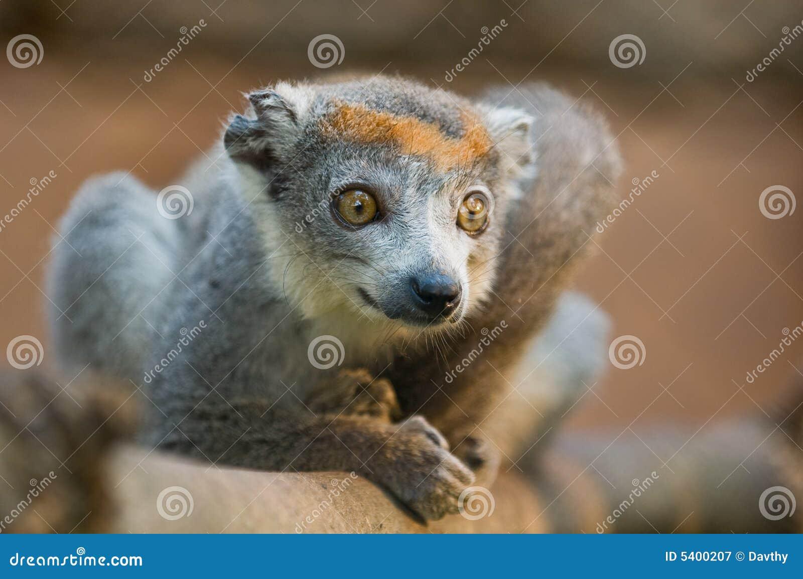 被加冠的狐猴