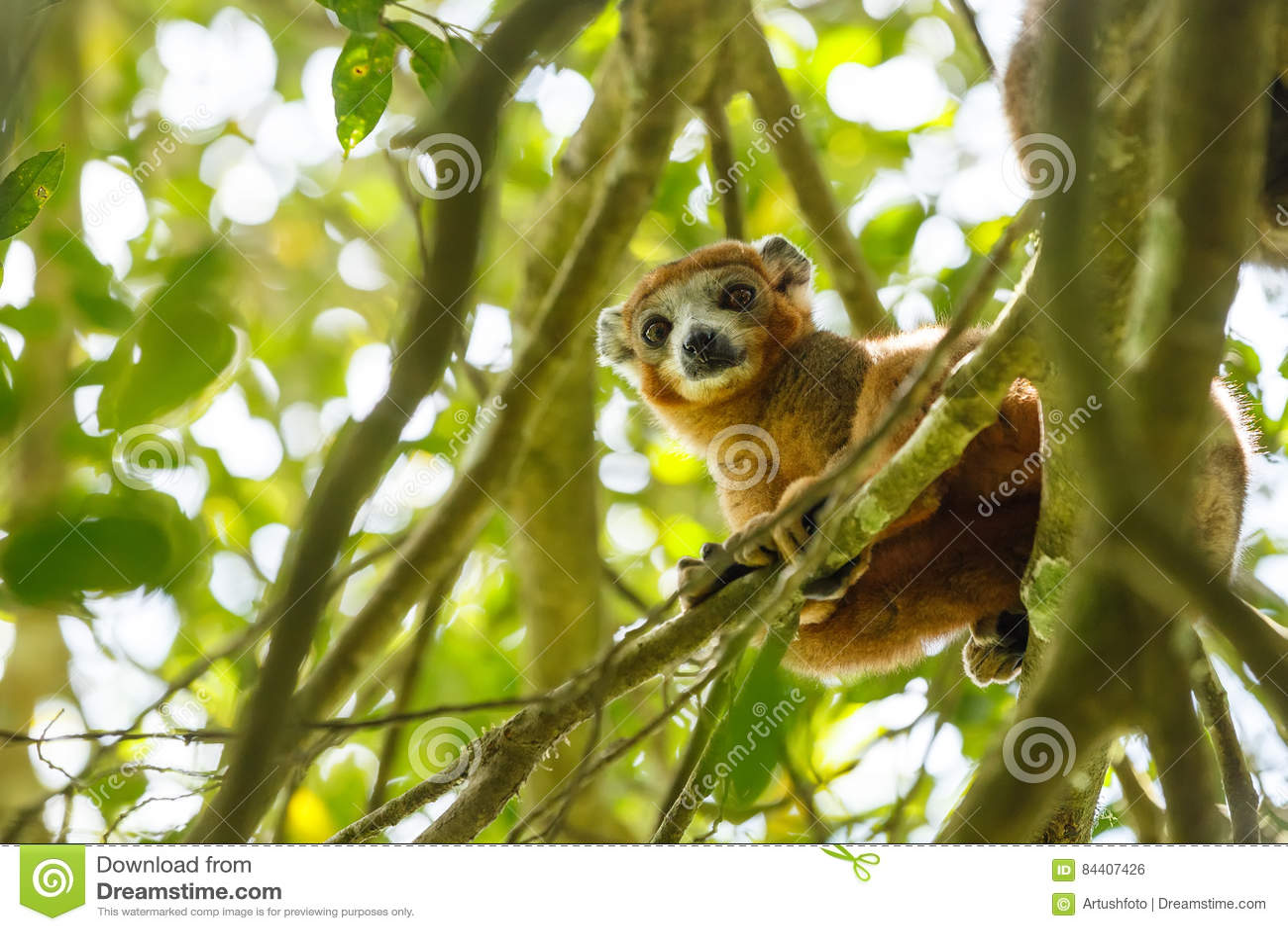 被加冠的狐猴Ankarana国家公园,马达加斯加
