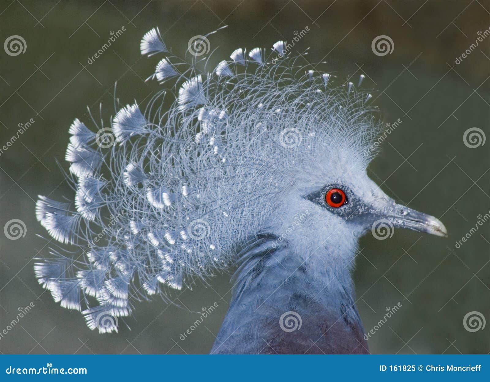 被加冠的鸽子维多利亚