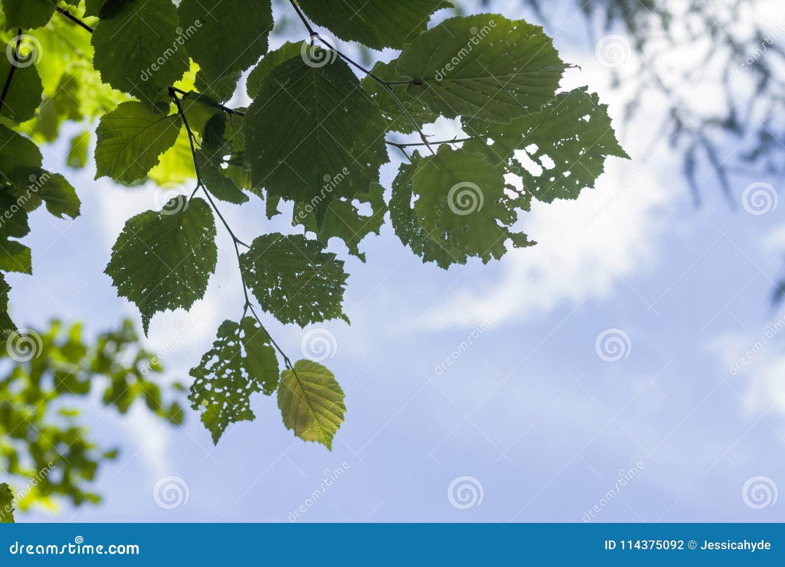 被吃的桑属晨曲绿色叶子