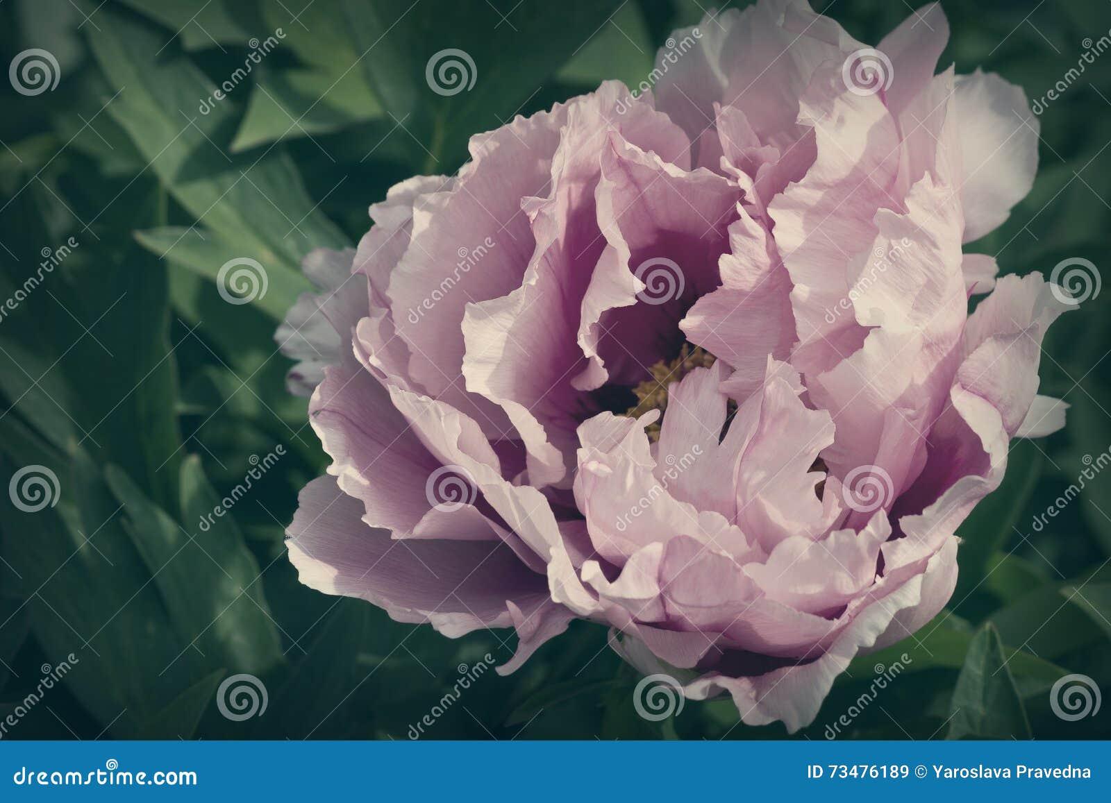 被定调子的牡丹花