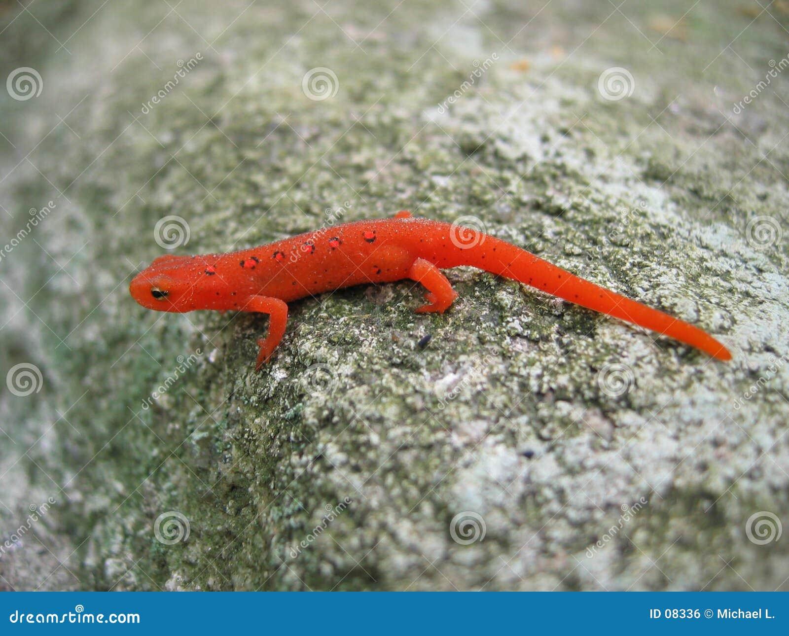 被察觉的蝾螈红色